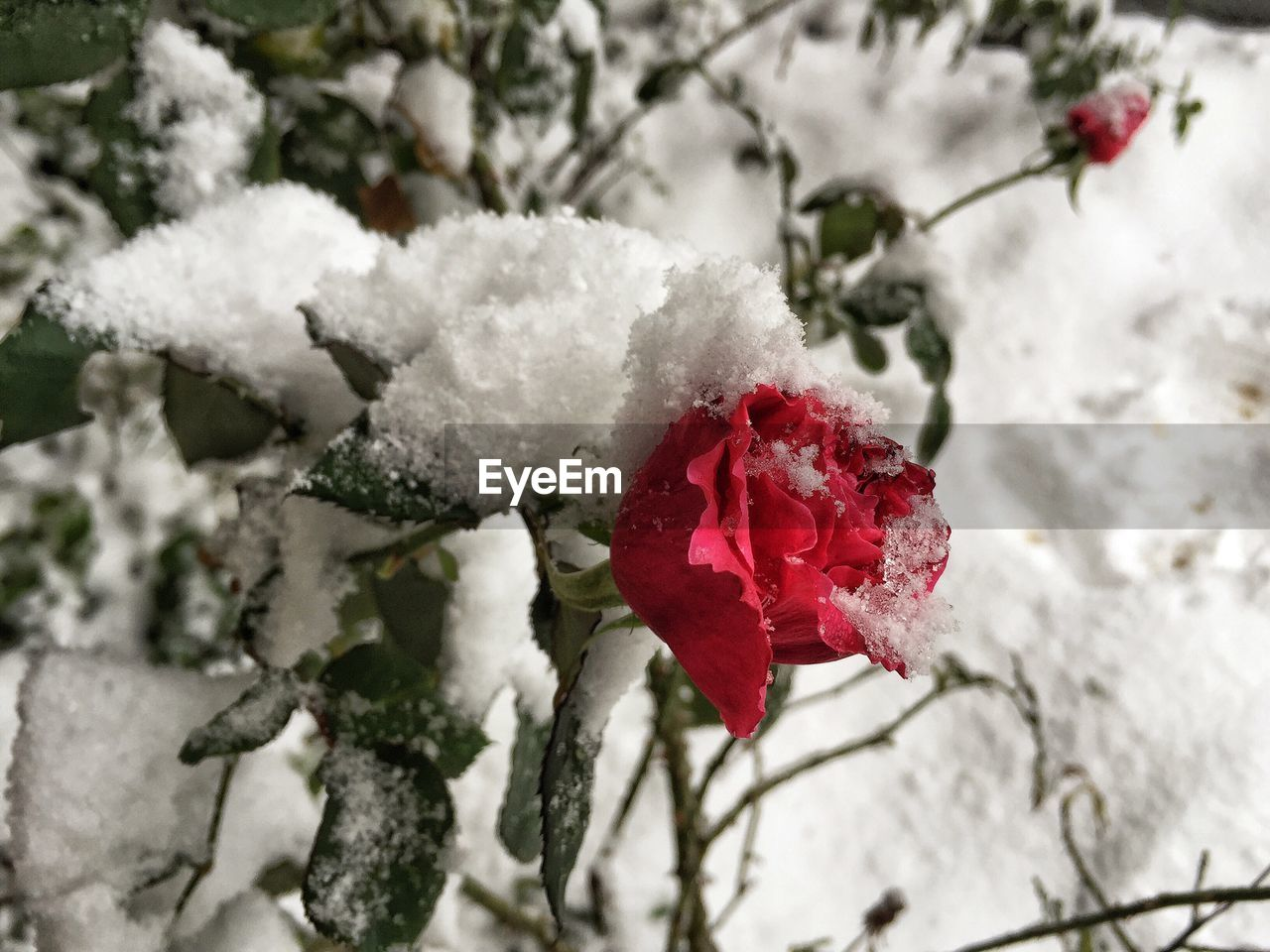 snow, cold temperature, winter, flower, nature, beauty in nature, red, white color, growth, weather, outdoors, plant, fragility, frozen, no people, close-up, freshness, day, blooming, flower head