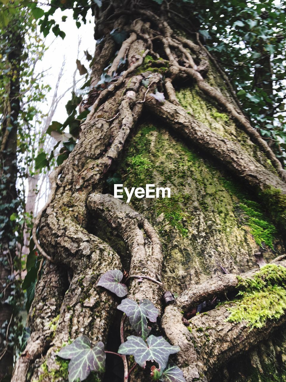 tree, tree trunk, day, low angle view, growth, moss, outdoors, nature, forest, branch, no people, sculpture, beauty in nature, close-up