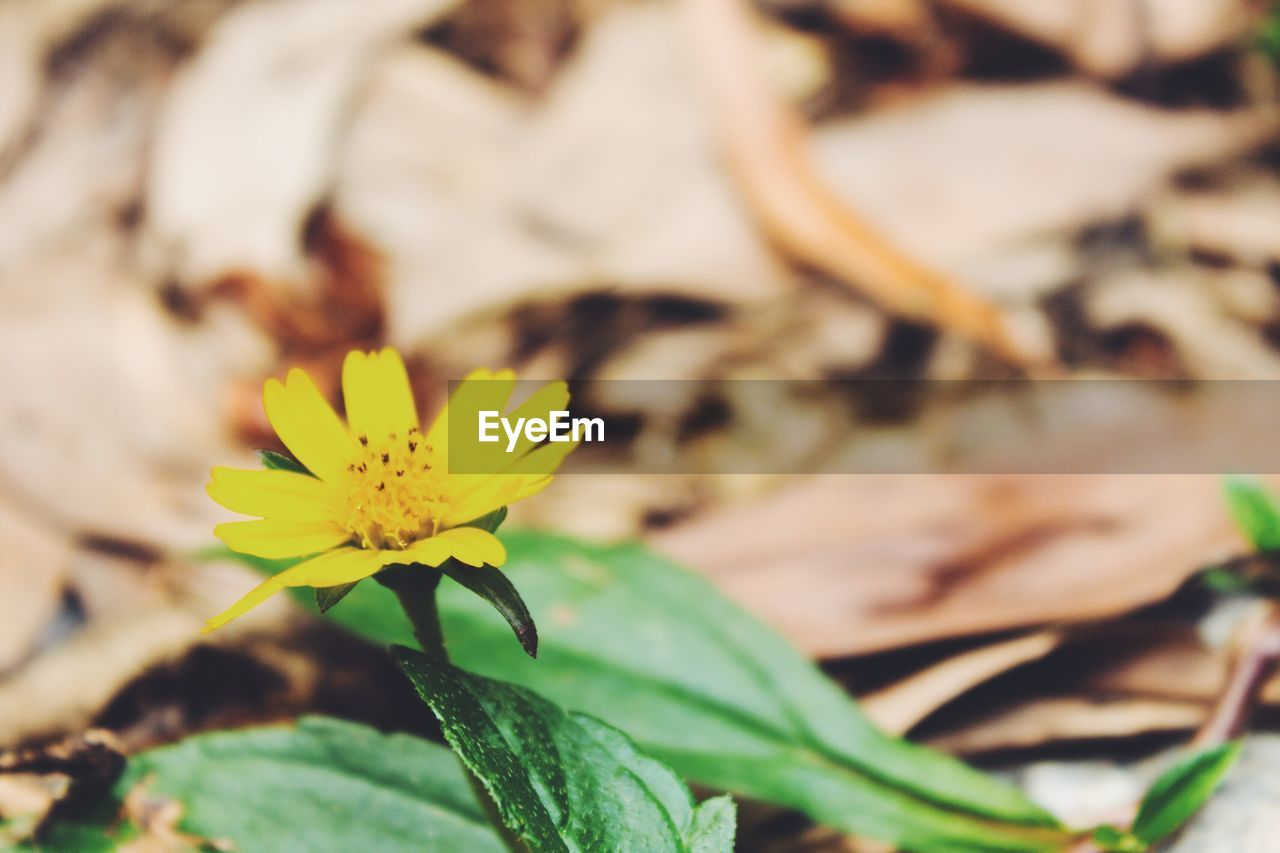 flower, fragility, petal, beauty in nature, flower head, nature, freshness, yellow, growth, plant, leaf, close-up, outdoors, day, no people, blooming, animal themes