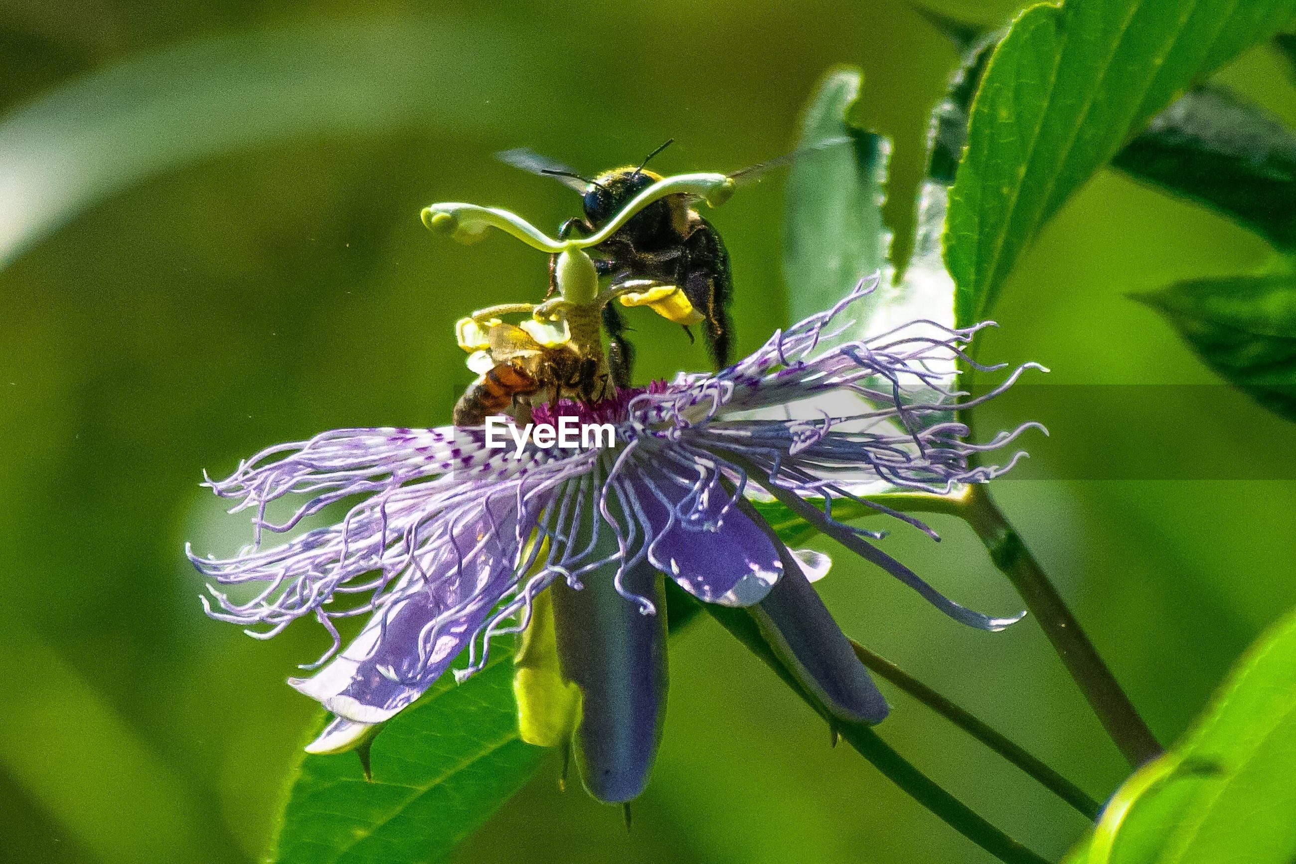 CLOSE-UP OF BUMBLEBEE ON PURPLE FLOWER
