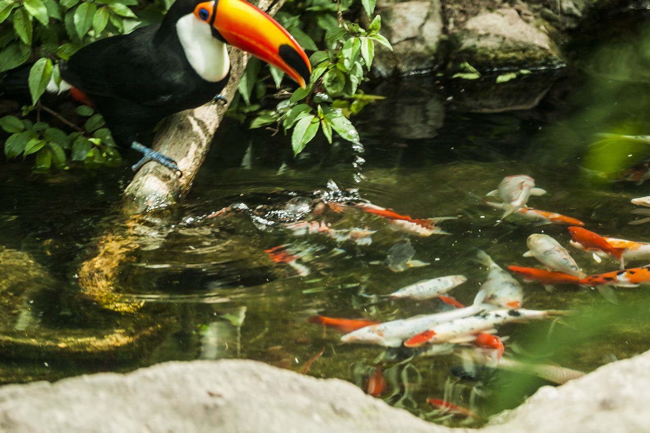 vertebrate, animal, animal wildlife, water, animal themes, animals in the wild, fish, swimming, group of animals, lake, koi carp, carp, sea life, marine, nature, underwater, large group of animals, no people, outdoors, school of fish