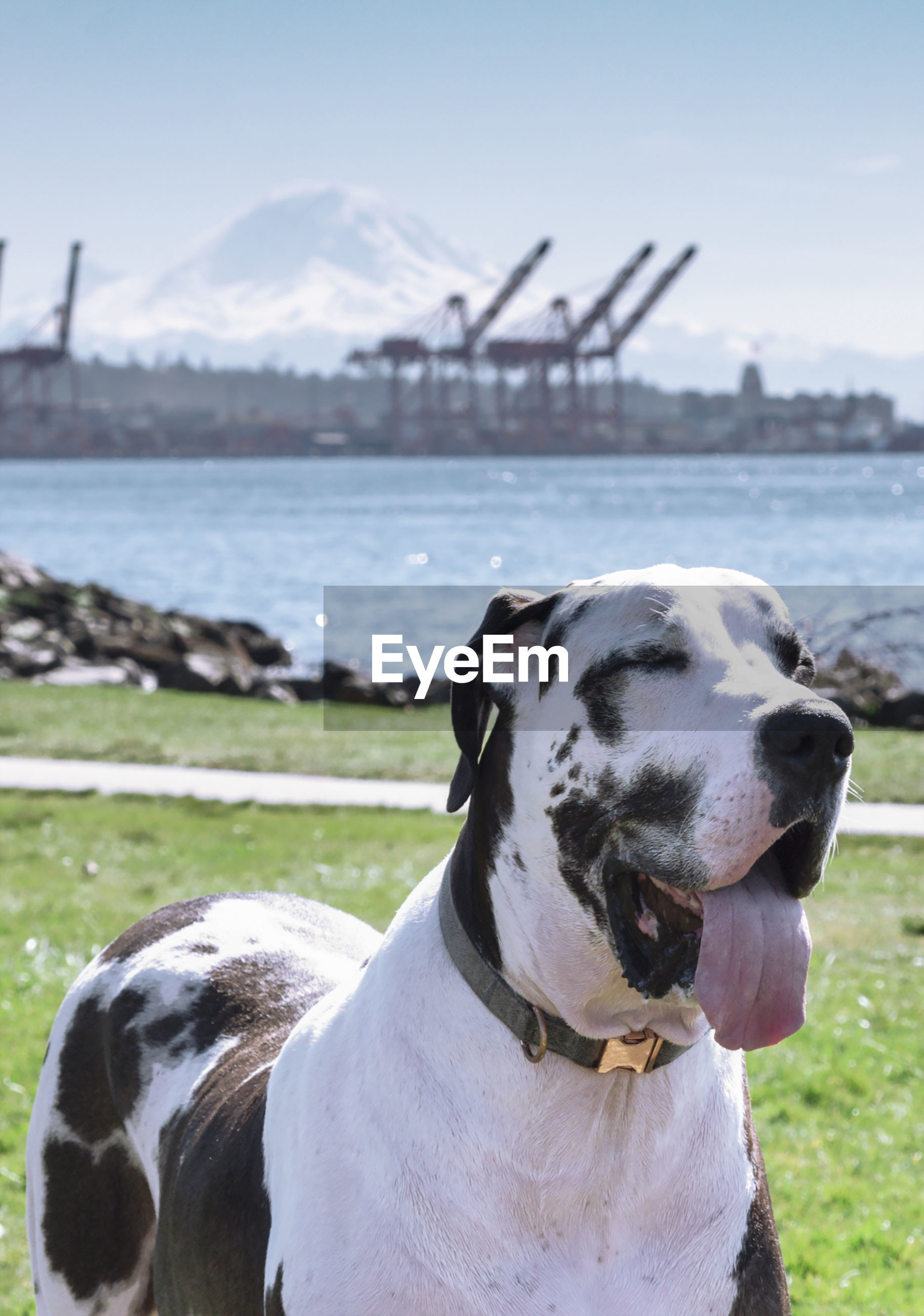 great dane dog panting spring day on the seattle waterfront with shipping cranes mount rainier in