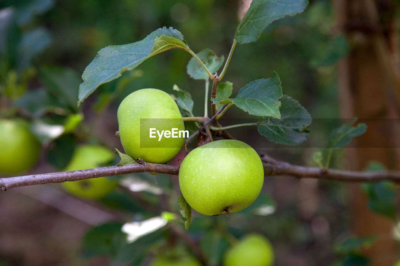 fruit, healthy eating, food, food and drink, green color, growth, leaf, plant part, plant, freshness, close-up, wellbeing, focus on foreground, tree, no people, nature, day, outdoors, agriculture, fruit tree, ripe
