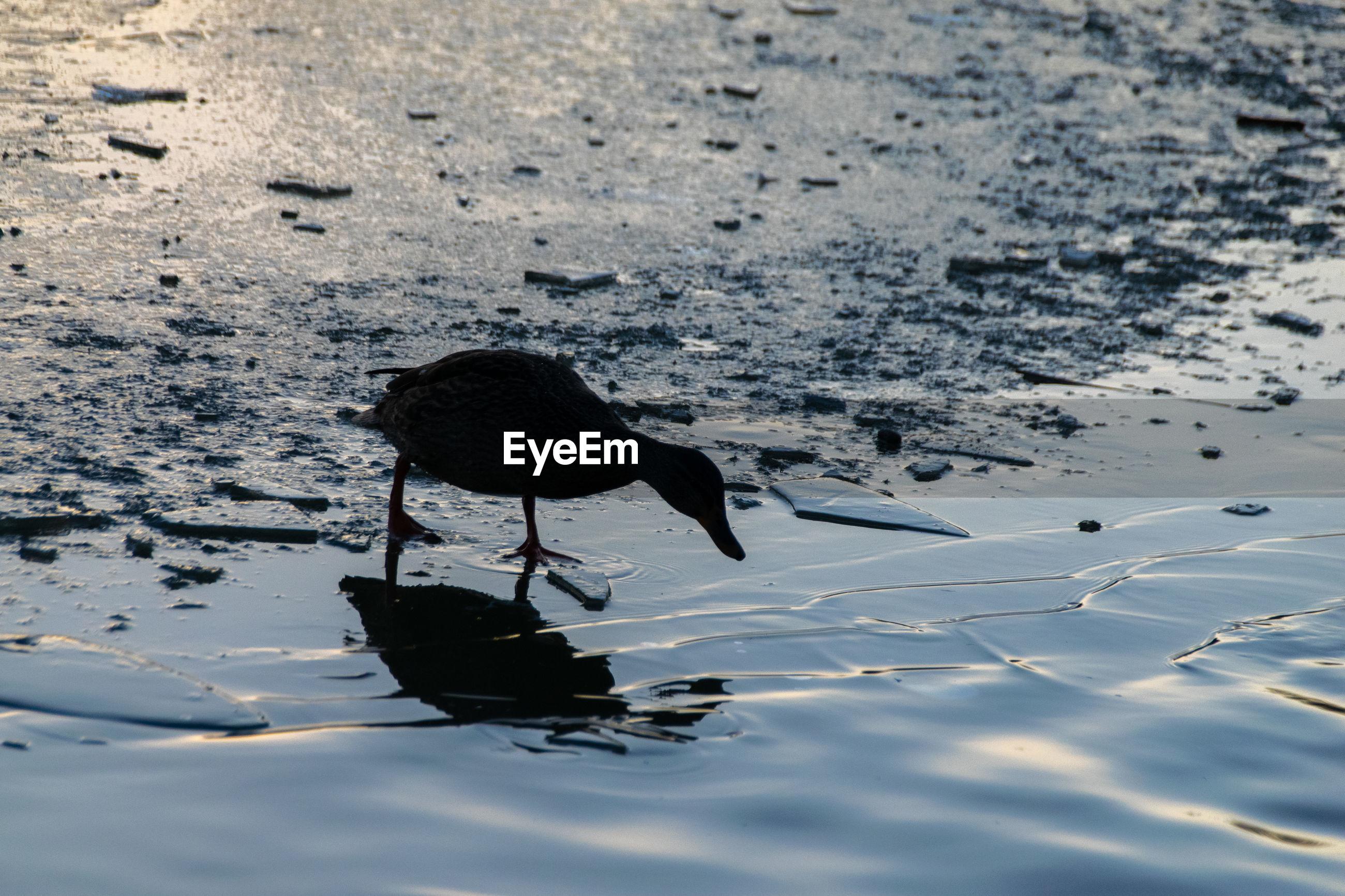 Mallard duck standing on a frozen lake
