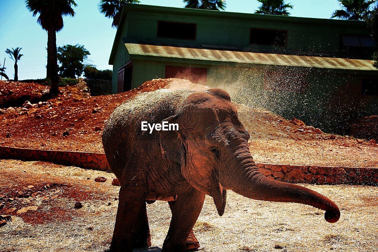 Elephant roaring at zoo