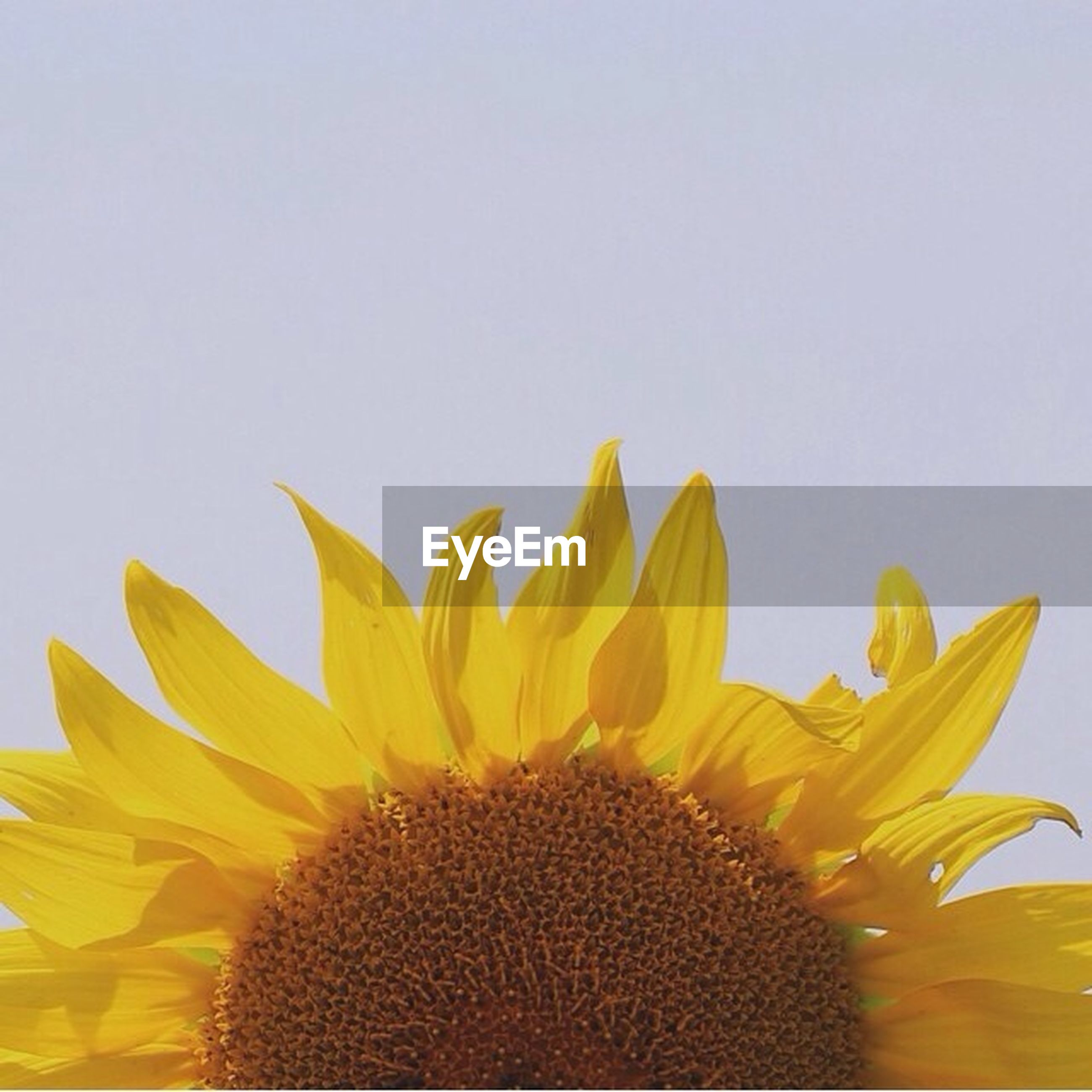 flower, yellow, freshness, petal, flower head, sunflower, fragility, beauty in nature, growth, pollen, clear sky, close-up, copy space, nature, single flower, blooming, plant, white background, low angle view, studio shot