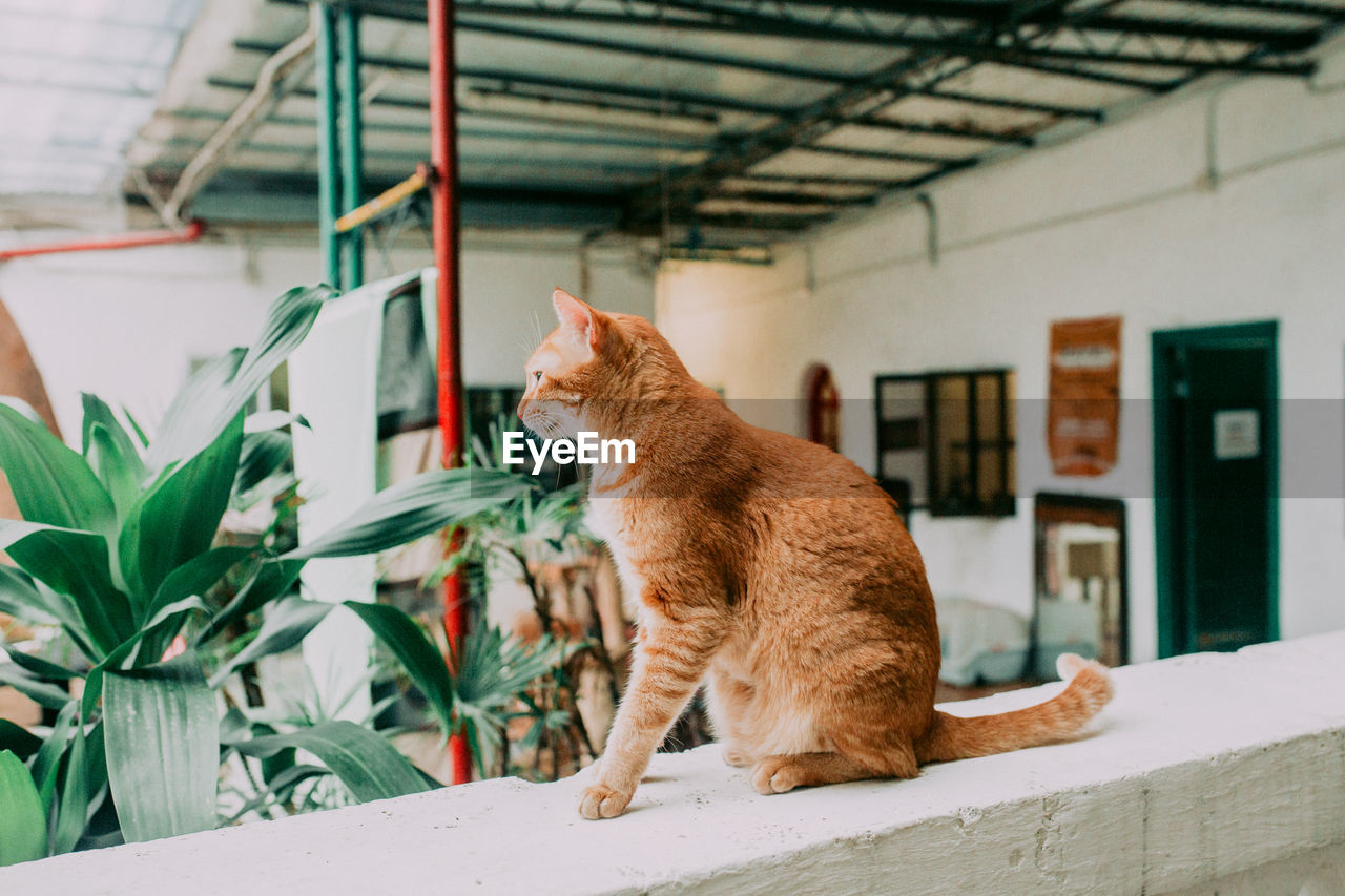 animal themes, mammal, domestic animals, animal, domestic, pets, one animal, vertebrate, cat, domestic cat, feline, architecture, focus on foreground, looking, no people, sitting, day, ginger cat, built structure, looking away, whisker