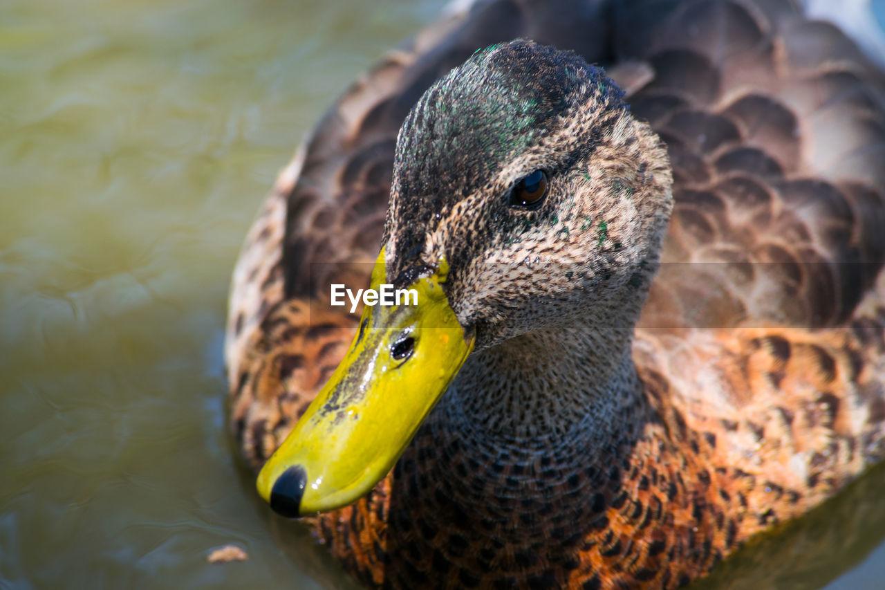 Close-Up Of Female Mallard Duck Swimming In Lake