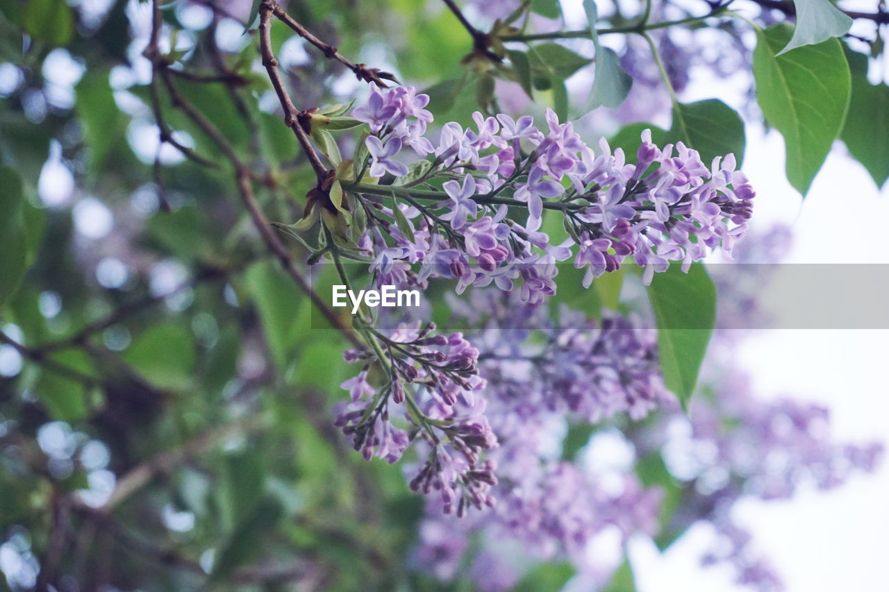 plant, flower, flowering plant, beauty in nature, growth, fragility, freshness, vulnerability, purple, close-up, nature, petal, day, no people, focus on foreground, blossom, selective focus, tree, springtime, branch, lilac, outdoors, flower head, bunch of flowers, spring