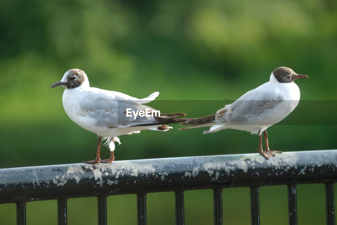bird, animal themes, railing, animals in the wild, perching, two animals, animal wildlife, black-headed gull, white color, day, focus on foreground, seagull, outdoors, nature, no people, close-up