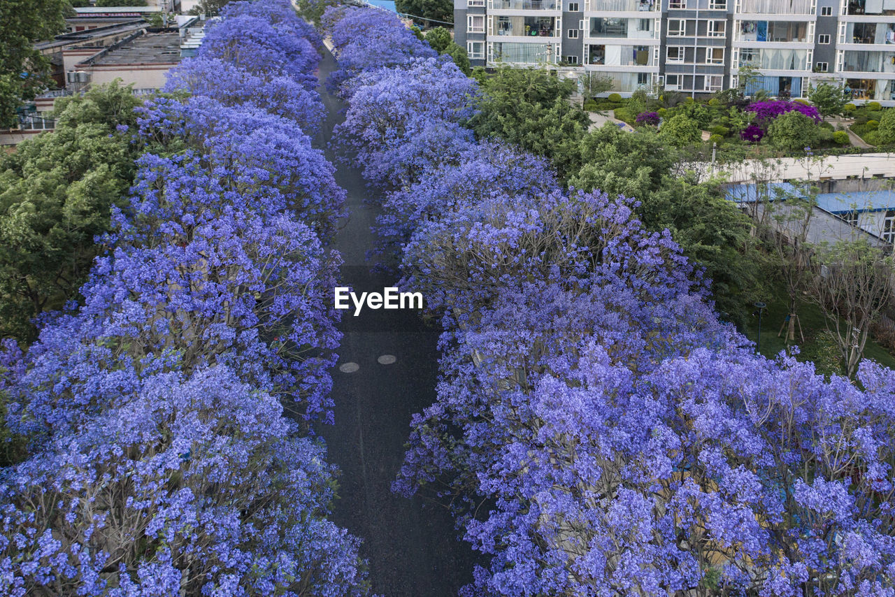 CLOSE-UP OF PURPLE FLOWERING PLANTS AGAINST BUILDINGS