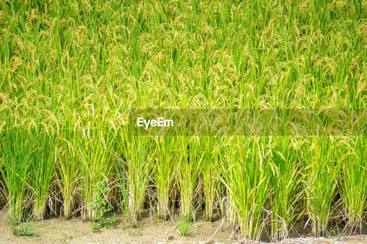 plant, growth, green color, field, land, agriculture, beauty in nature, nature, crop, landscape, rural scene, farm, day, no people, tranquility, cereal plant, grass, backgrounds, outdoors, full frame, plantation