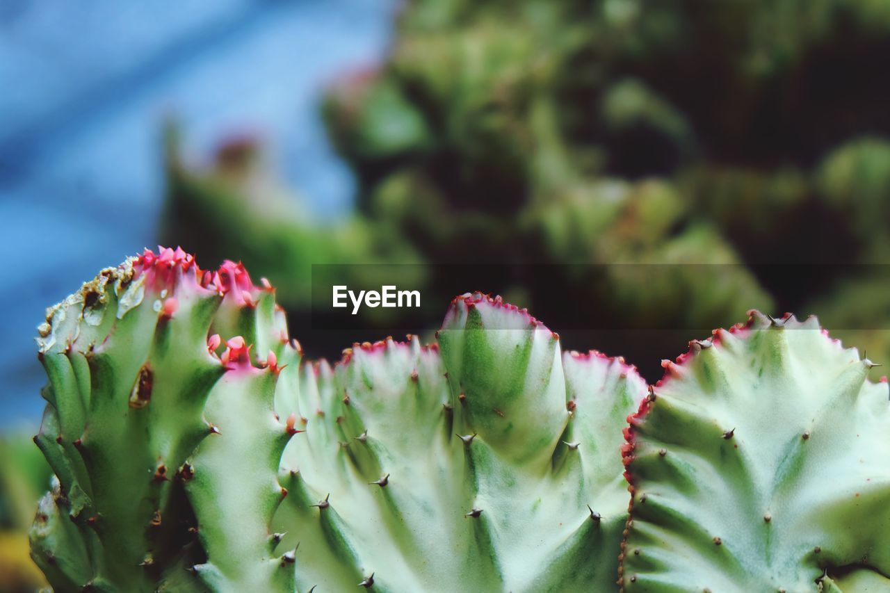 growth, plant, beauty in nature, close-up, freshness, green color, day, no people, succulent plant, nature, selective focus, flower, focus on foreground, cactus, vulnerability, fragility, flowering plant, outdoors, leaf, plant part, flower head