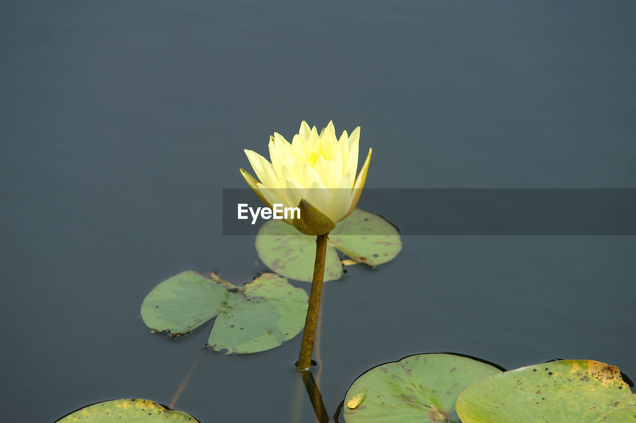 flower, beauty in nature, leaf, nature, freshness, fragility, petal, yellow, growth, water lily, lotus water lily, flower head, lily pad, no people, close-up, outdoors, plant, water, lake, floating on water, lotus, day