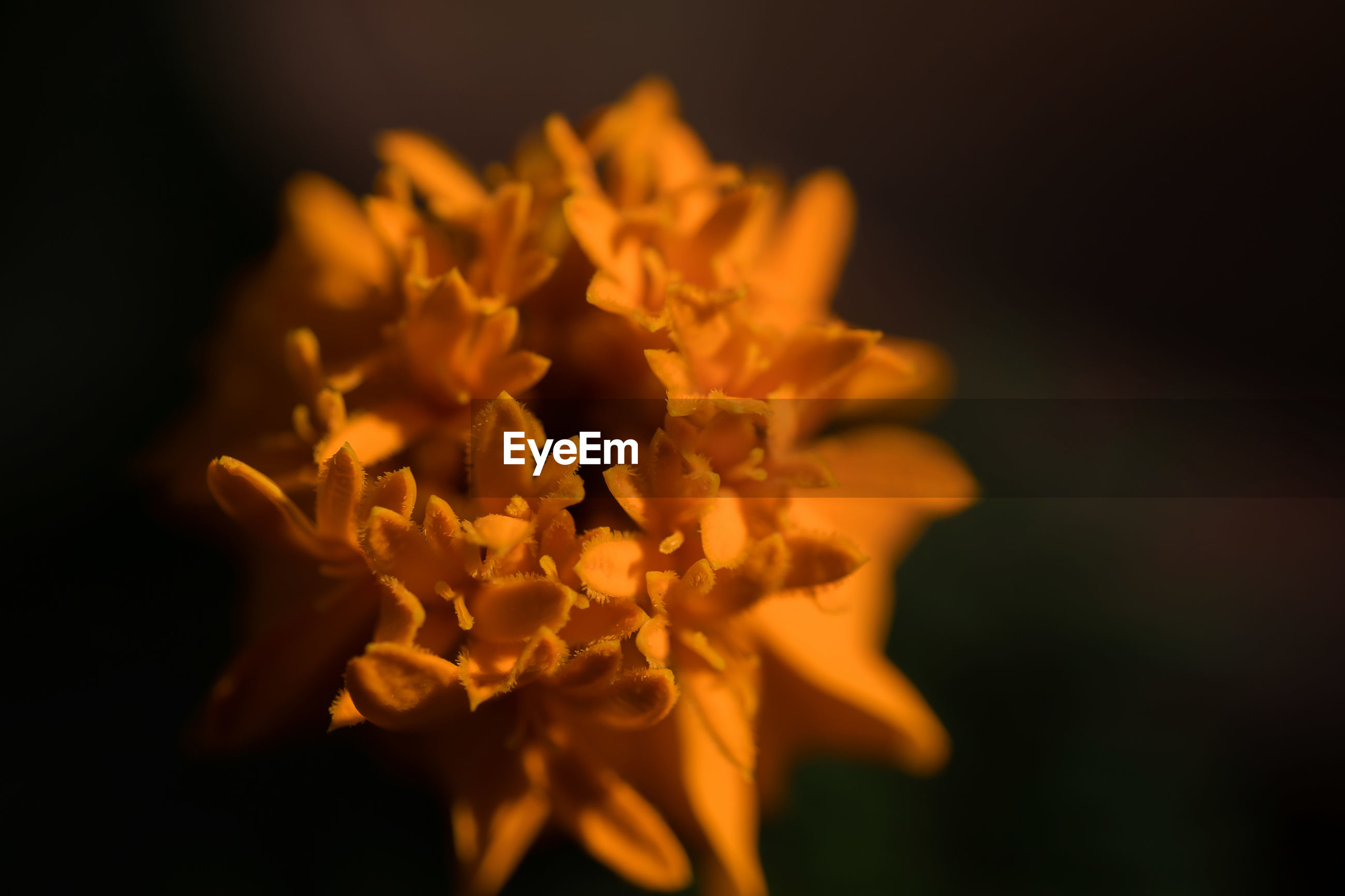 CLOSE-UP OF YELLOW FLOWER ON BLACK BACKGROUND