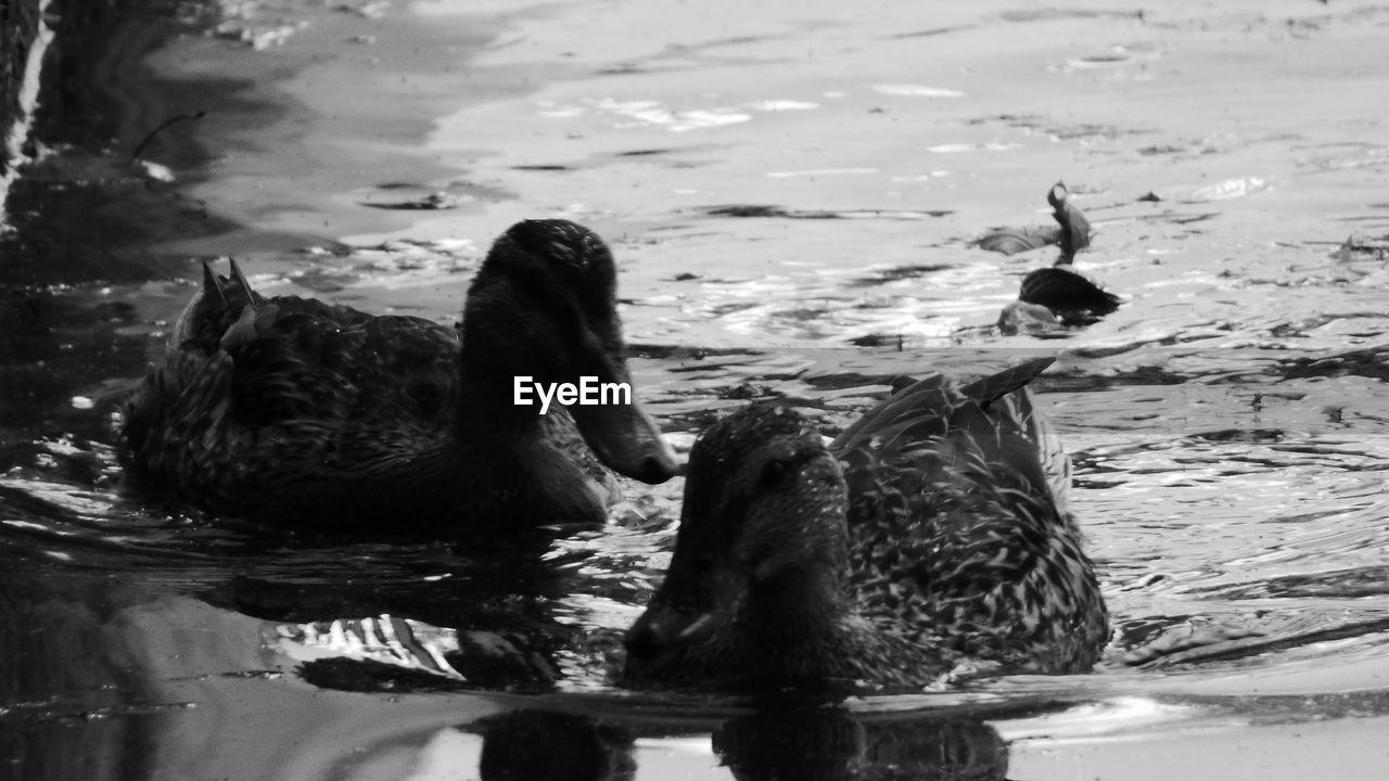 animal themes, animals in the wild, water, swimming, lake, bird, two animals, waterfront, animal wildlife, nature, no people, day, duck, water bird, outdoors, beak, close-up