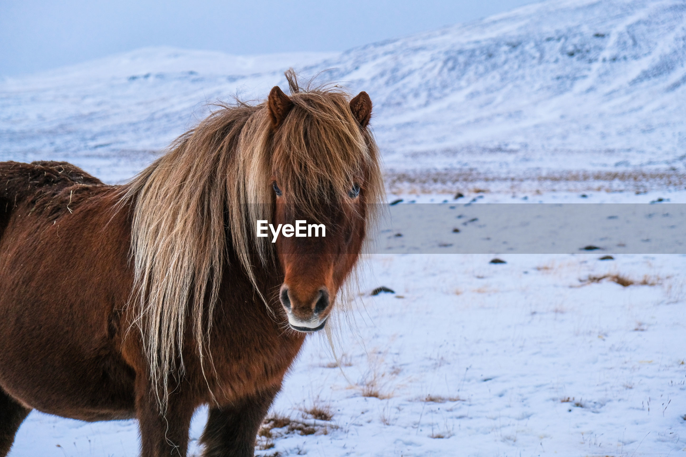 Icelandic horse standing on snow covered field