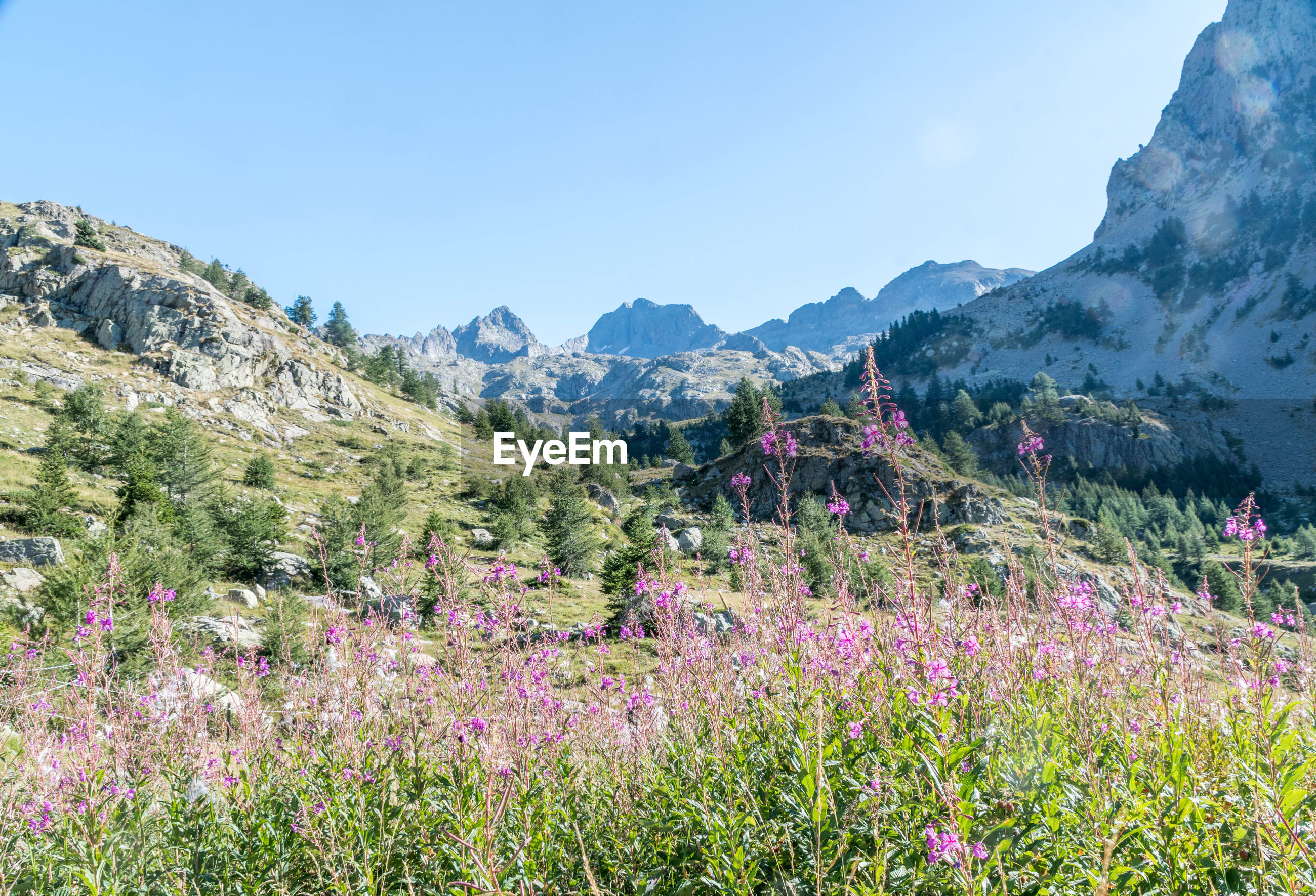 PURPLE FLOWERING PLANTS ON FIELD AGAINST MOUNTAINS