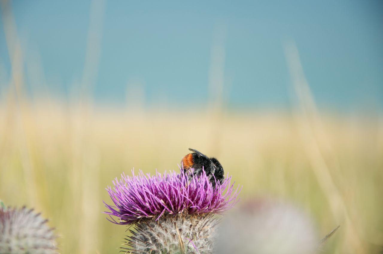 Bumblebee On Purple Flower Over Field