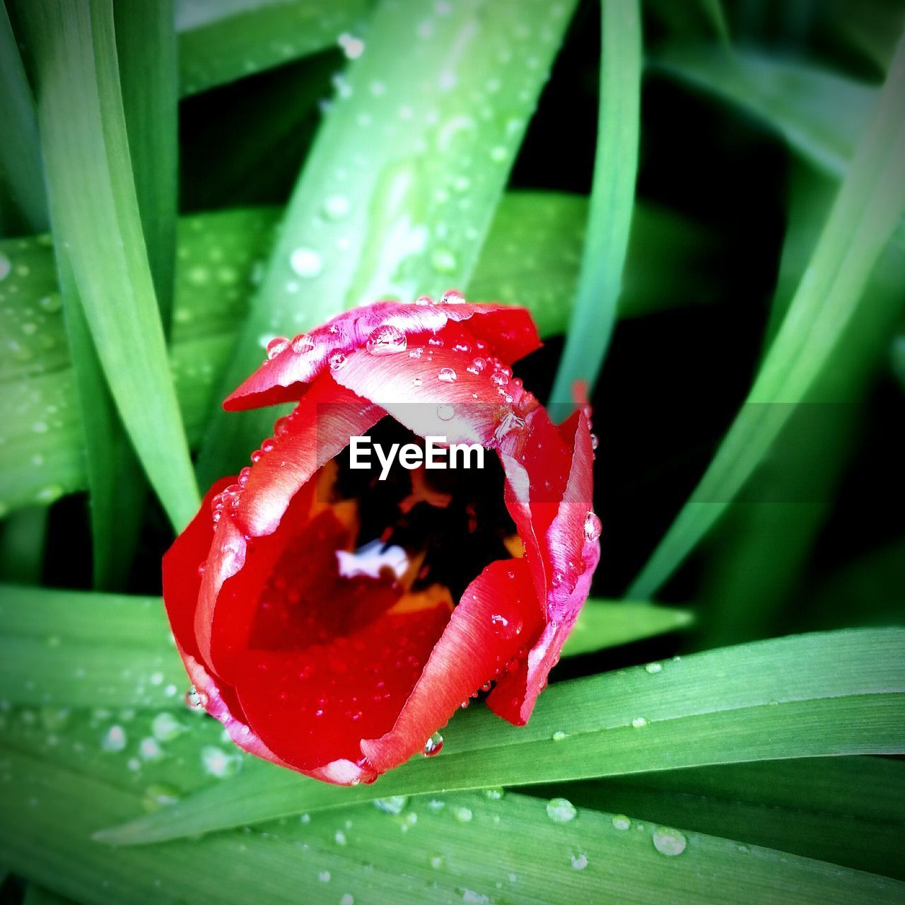 growth, leaf, nature, green color, drop, beauty in nature, red, freshness, wet, plant, close-up, fragility, water, no people, petal, outdoors, day, flower, blooming, flower head