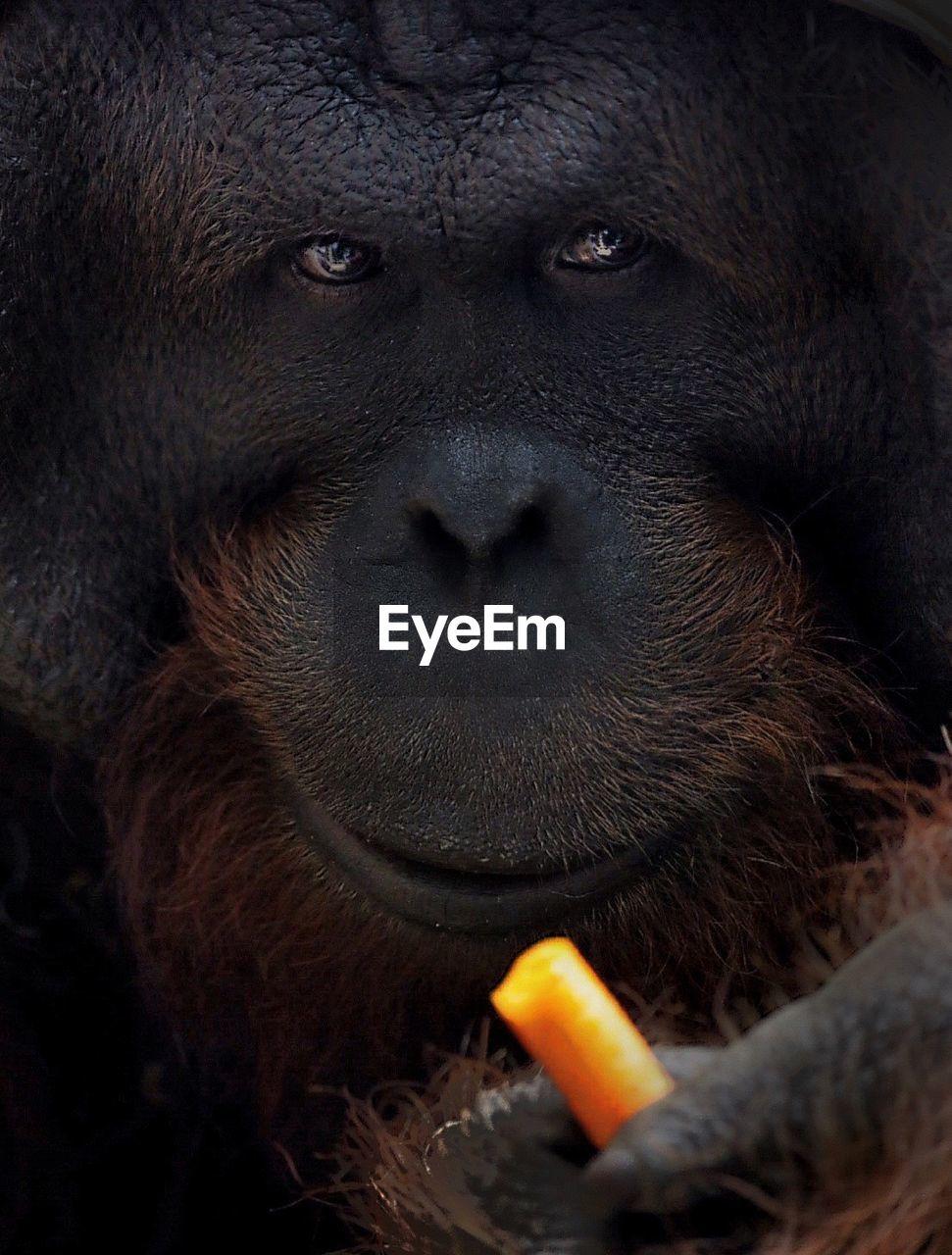 Close-up of ape