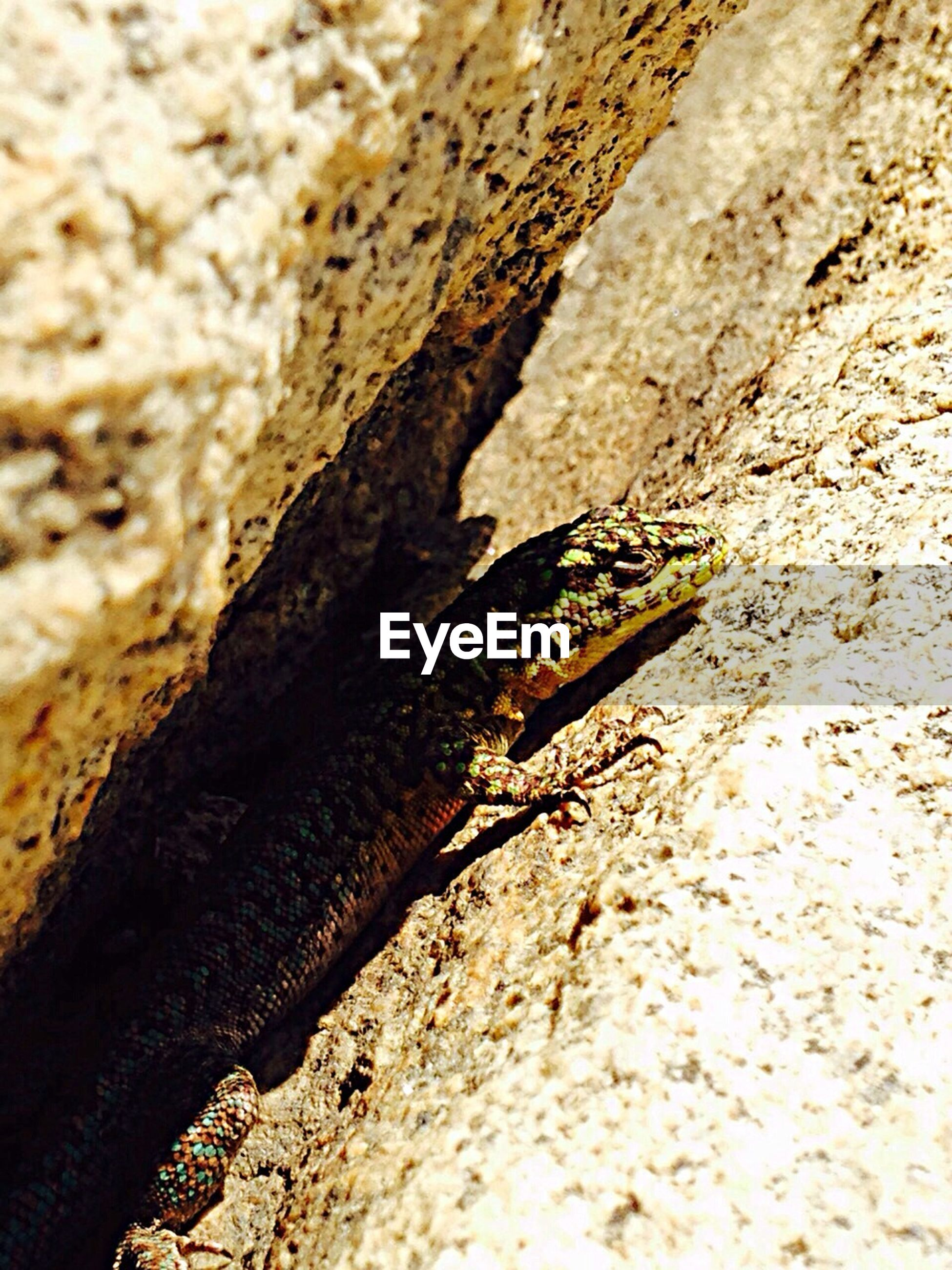 animals in the wild, animal themes, one animal, wildlife, insect, close-up, selective focus, nature, rock - object, reptile, high angle view, textured, lizard, zoology, outdoors, rough, day, focus on foreground, rock, no people