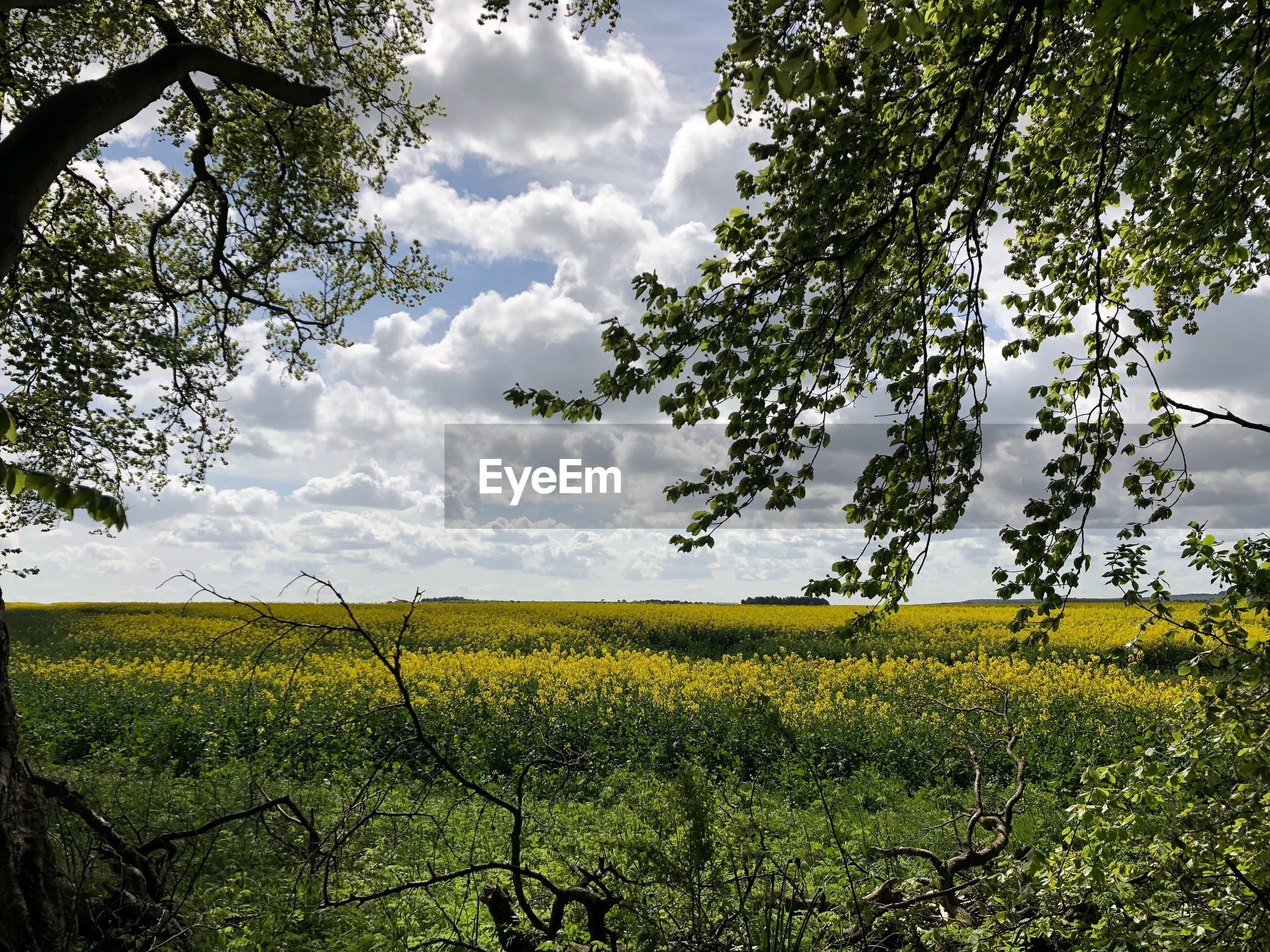 plant, growth, beauty in nature, tree, sky, land, field, tranquility, landscape, cloud - sky, tranquil scene, scenics - nature, environment, flower, nature, yellow, agriculture, no people, flowering plant, rural scene, outdoors
