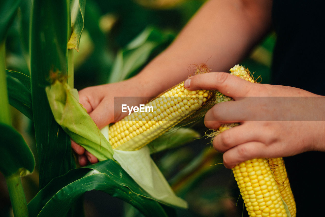 corn, vegetable, sweetcorn, food, real people, human hand, hand, food and drink, freshness, human body part, corn on the cob, yellow, close-up, holding, women, focus on foreground, day, people, agriculture, nature, outdoors