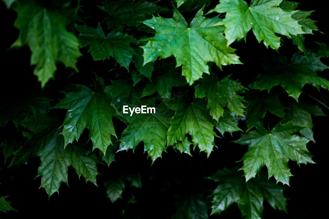 plant, growth, plant part, leaf, beauty in nature, nature, green color, close-up, no people, freshness, night, outdoors, full frame, vulnerability, tranquility, selective focus, backgrounds, food and drink, fragility, black background