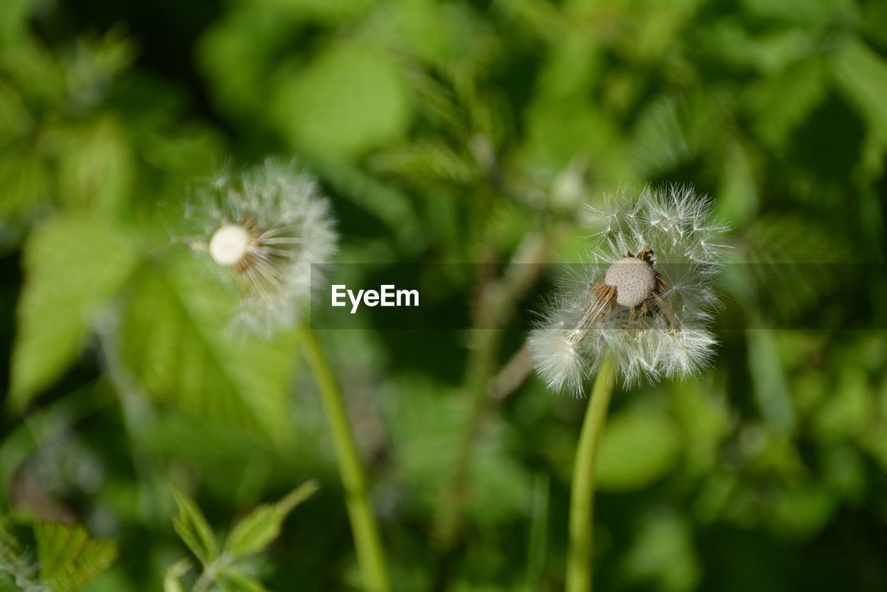plant, flower, flowering plant, fragility, growth, vulnerability, beauty in nature, white color, dandelion, freshness, close-up, no people, flower head, day, softness, inflorescence, green color, nature, focus on foreground, selective focus, dandelion seed, outdoors