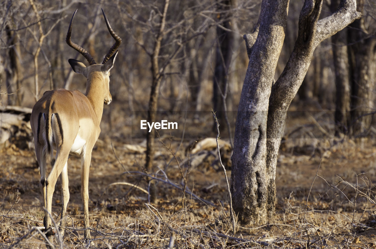 animal themes, animal wildlife, animals in the wild, animal, tree, mammal, land, plant, field, vertebrate, no people, nature, deer, day, trunk, tree trunk, standing, focus on foreground, group of animals, herbivorous, outdoors, climate, arid climate