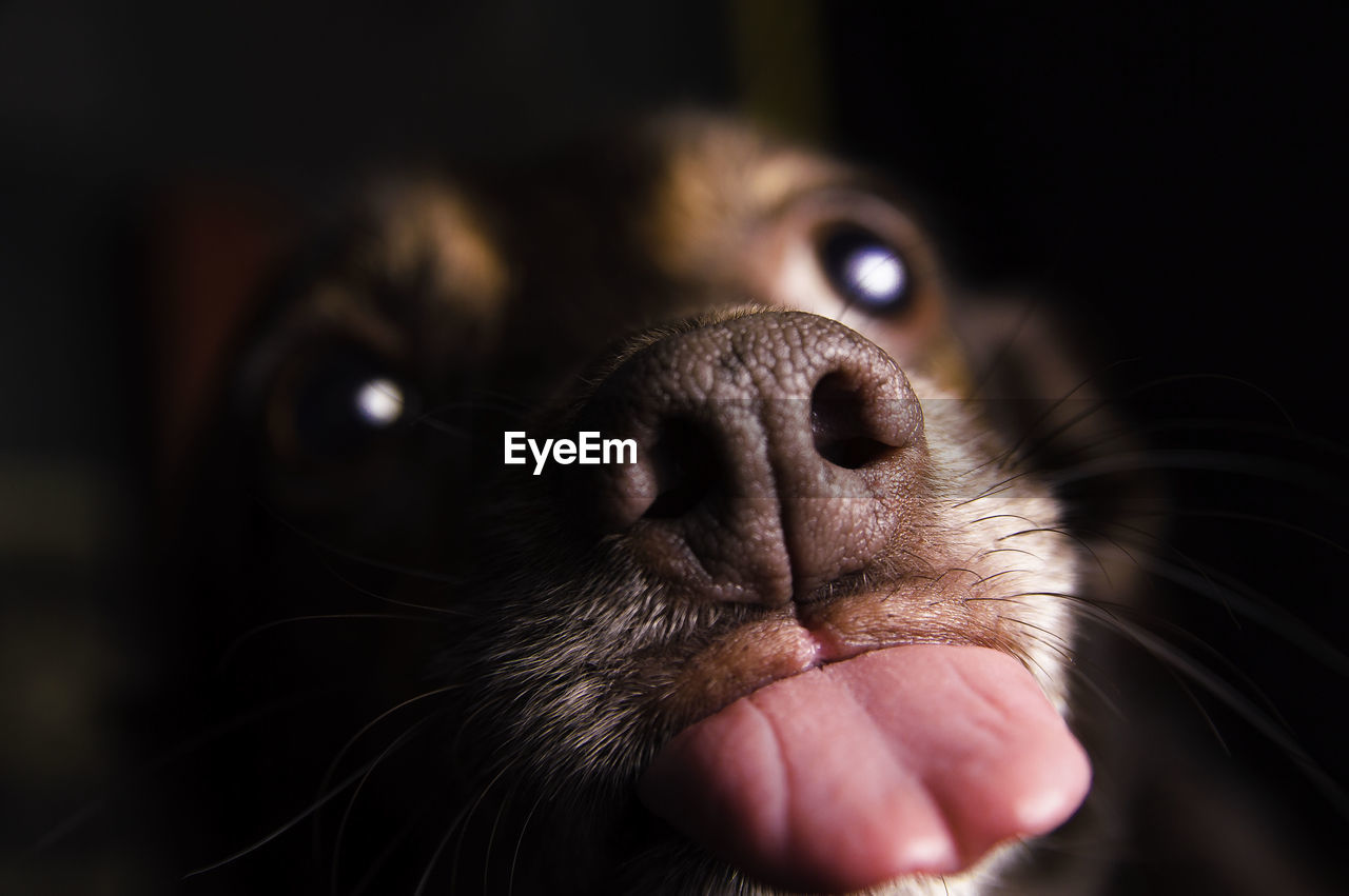 Close-Up Portrait Of Dog Sticking Out Tongue In Darkroom