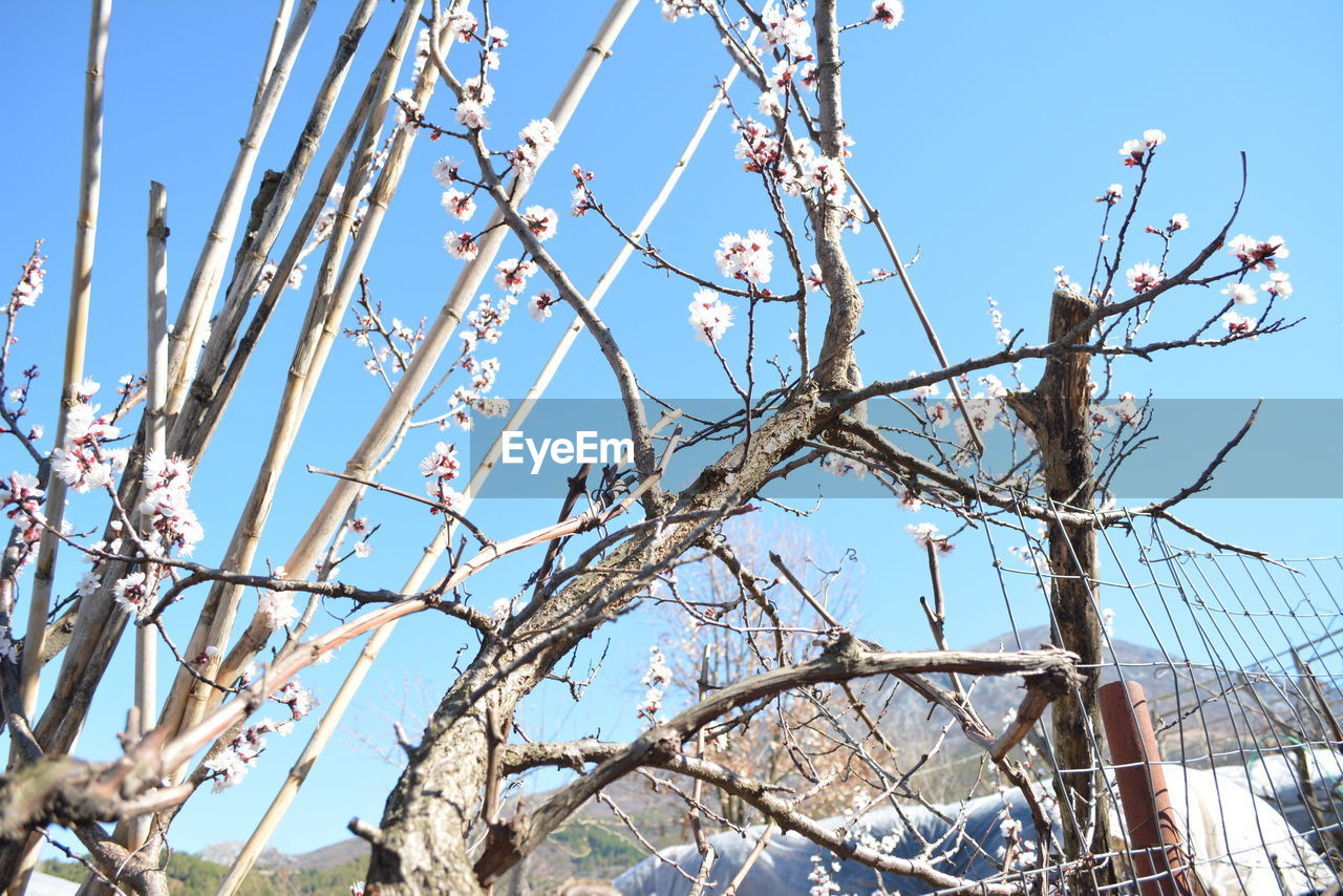 tree, branch, sky, low angle view, plant, day, nature, no people, clear sky, bare tree, beauty in nature, sunlight, outdoors, blue, growth, flower, tranquility, perching, flowering plant, bird, cherry blossom
