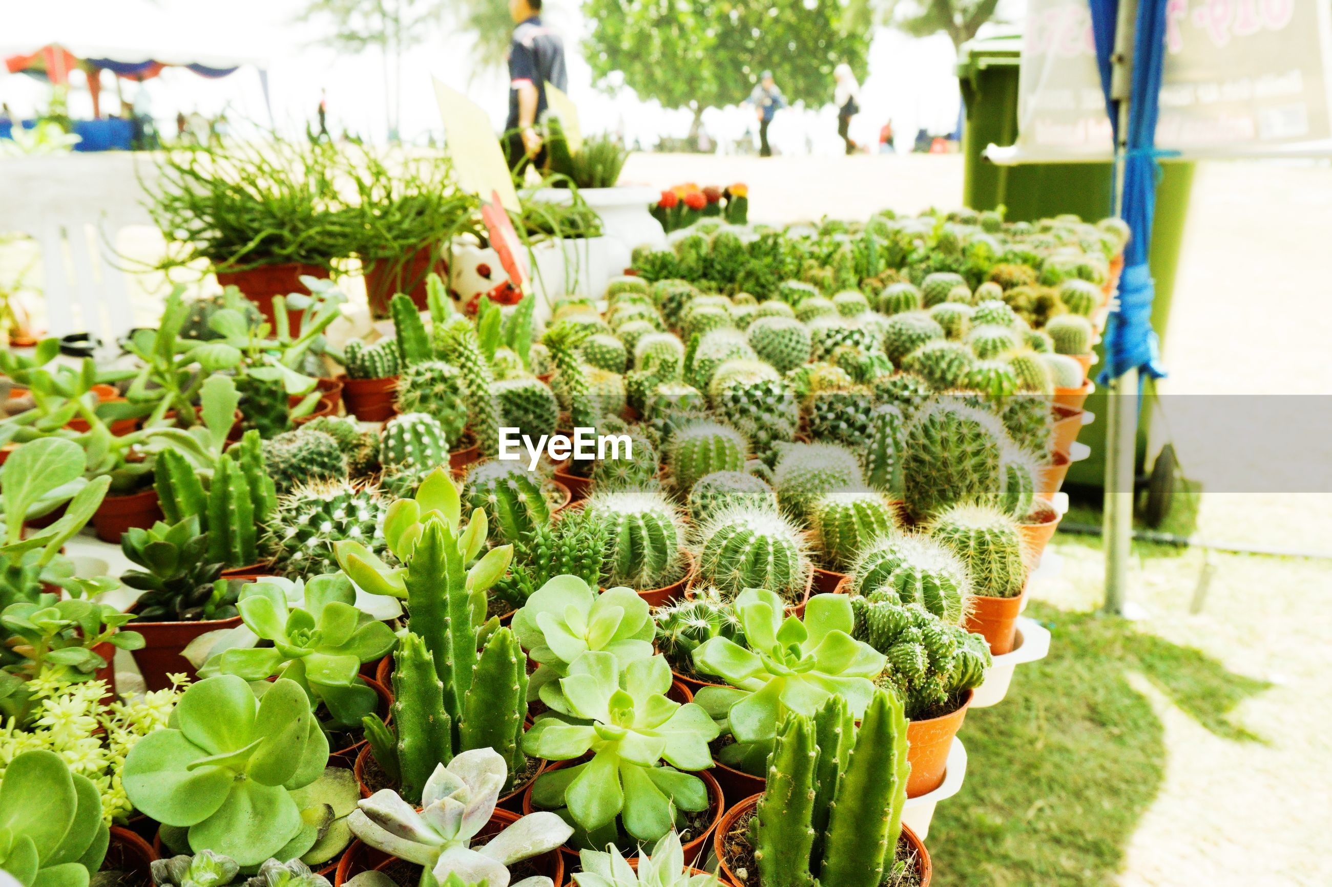 High angle view of potted cactus plants for sale