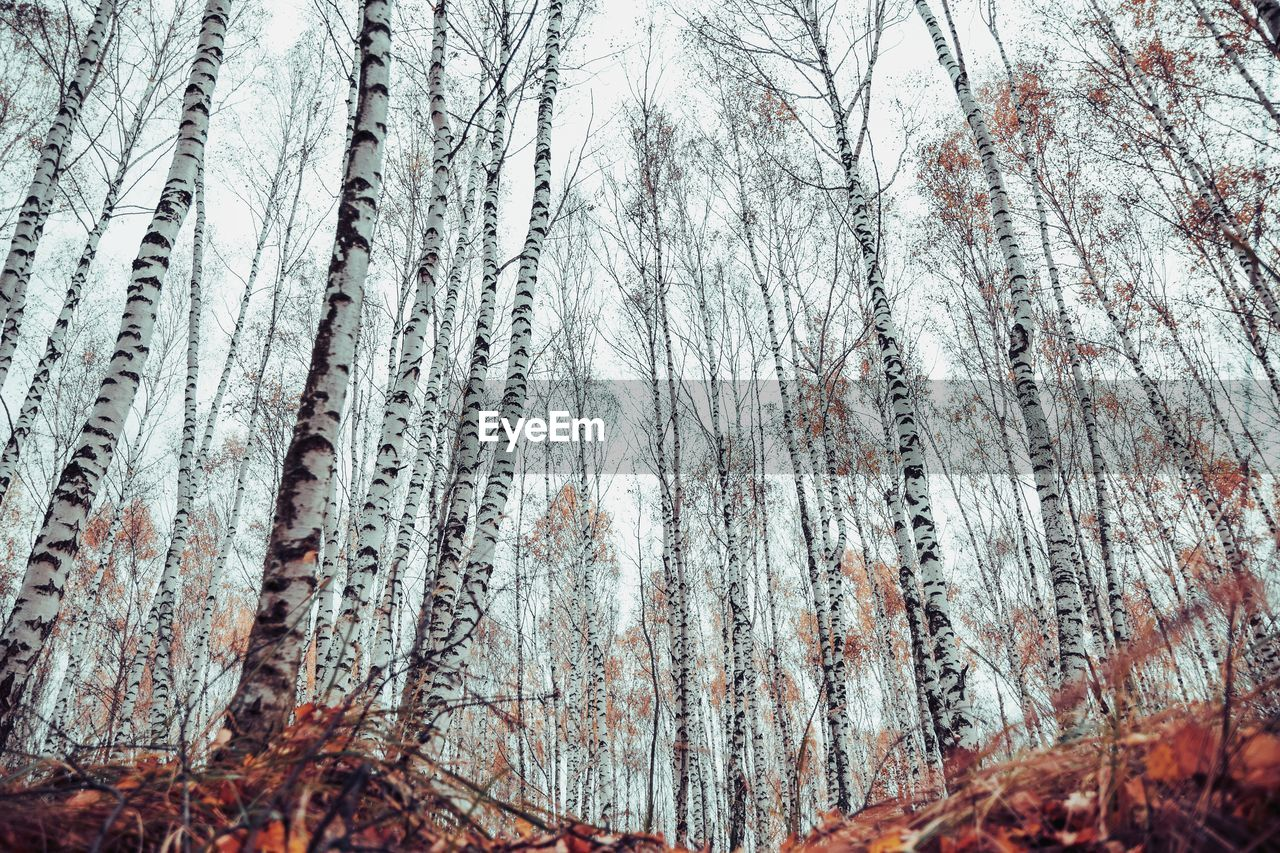 tree, plant, winter, cold temperature, forest, land, snow, tranquility, no people, beauty in nature, trunk, tree trunk, nature, tranquil scene, day, growth, frozen, non-urban scene, branch, woodland, outdoors, ice, pine tree, pine woodland, coniferous tree
