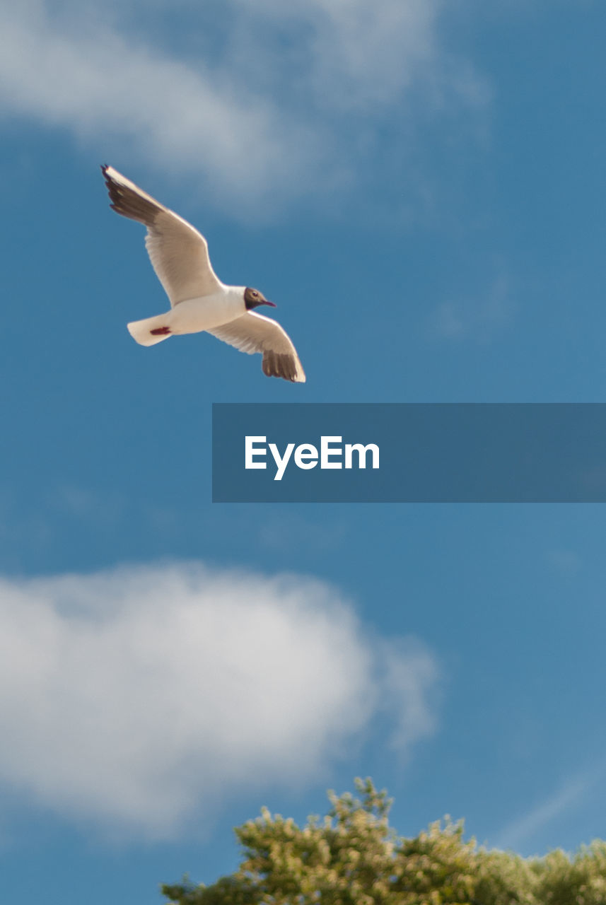 animals in the wild, animal wildlife, bird, animal themes, cloud - sky, one animal, animal, vertebrate, sky, flying, spread wings, low angle view, seagull, no people, mid-air, nature, day, outdoors, white color, motion
