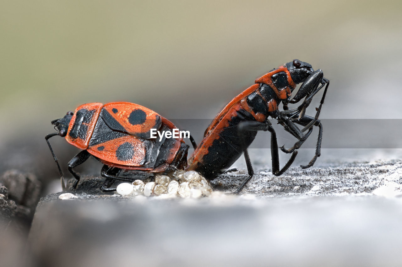 selective focus, animal, animal themes, animal wildlife, animals in the wild, invertebrate, close-up, insect, nature, one animal, day, orange color, outdoors, no people, black color, beetle, zoology, surface level