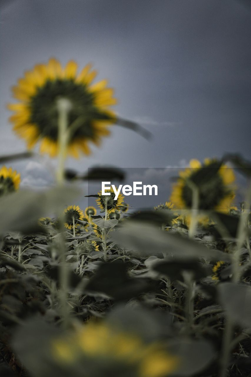 plant, flower, growth, flowering plant, yellow, vulnerability, selective focus, fragility, beauty in nature, freshness, nature, sky, flower head, close-up, no people, inflorescence, petal, outdoors, field, sunflower