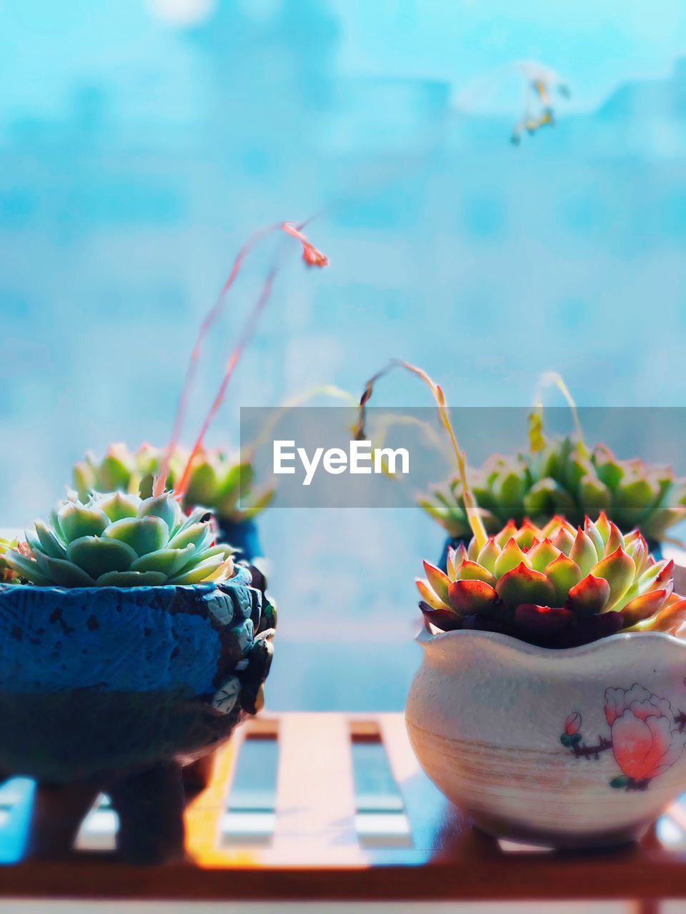 potted plant, succulent plant, no people, close-up, freshness, cactus, table, plant, food and drink, growth, nature, focus on foreground, day, food, green color, still life, fruit, outdoors, healthy eating, pot, flower pot, houseplant