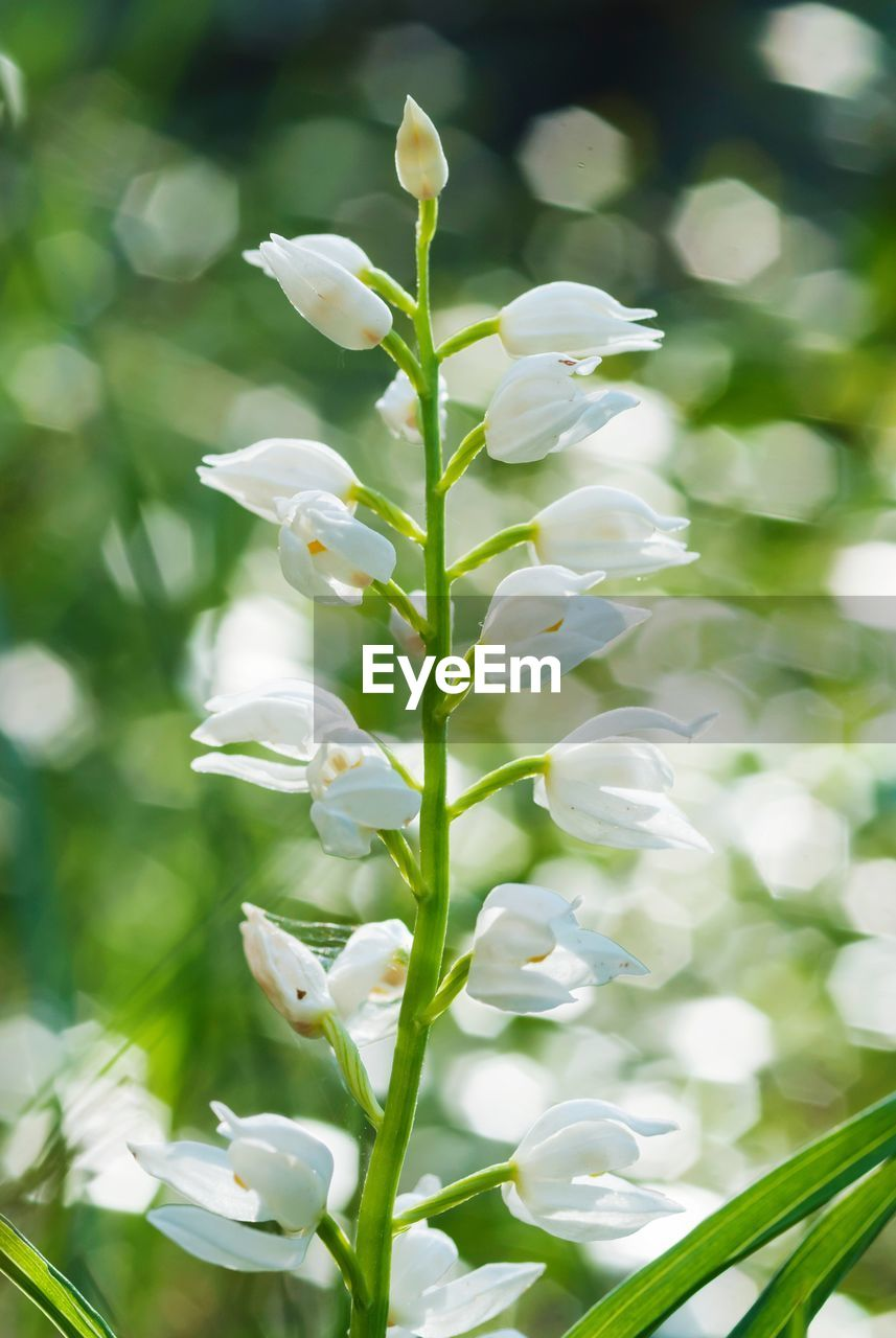 flower, flowering plant, plant, beauty in nature, fragility, vulnerability, growth, white color, close-up, petal, freshness, nature, focus on foreground, no people, day, flower head, green color, inflorescence, plant stem, springtime