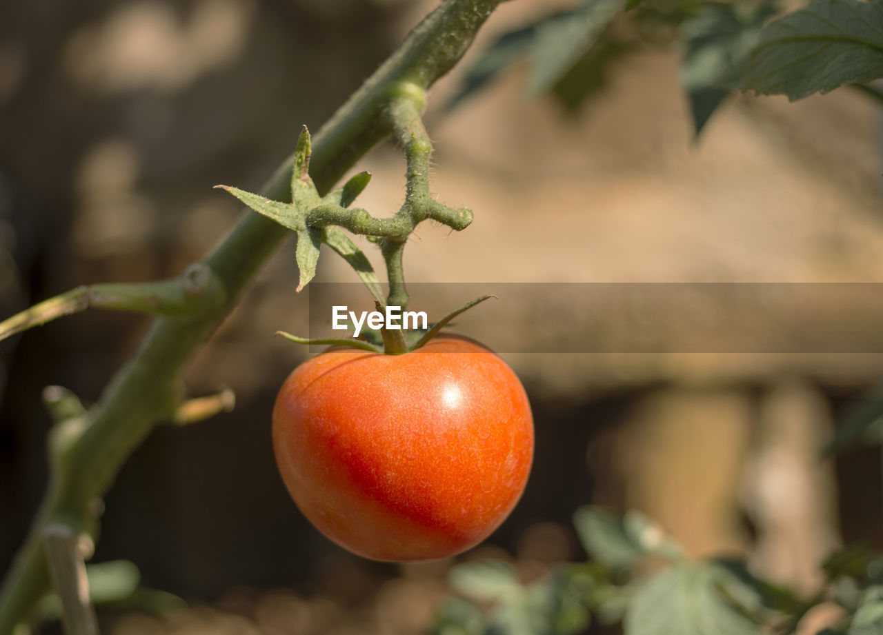 growth, focus on foreground, fruit, food and drink, close-up, freshness, food, green color, red, leaf, no people, healthy eating, outdoors, day, plant, nature, tree