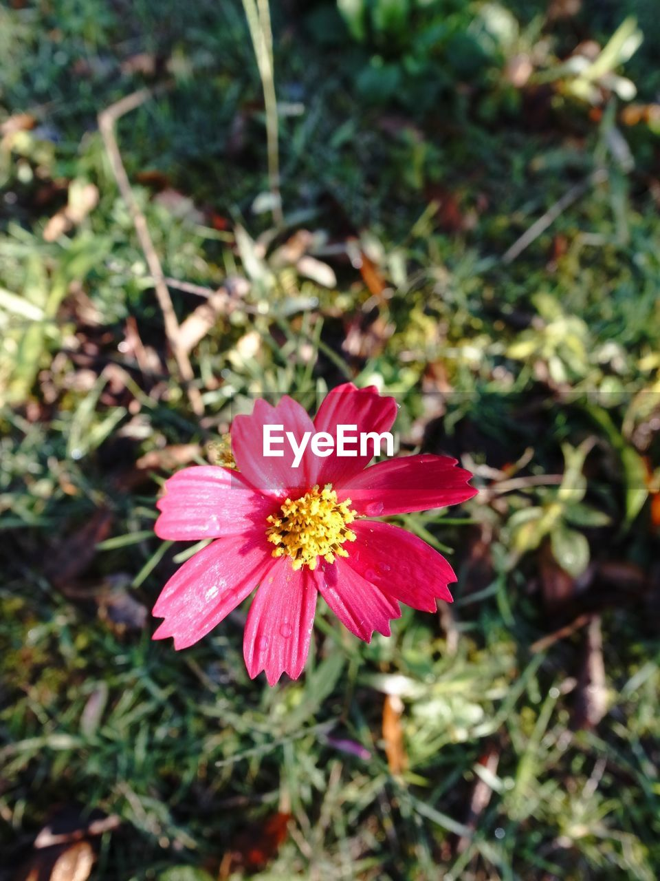 flower, petal, fragility, nature, flower head, beauty in nature, growth, blooming, plant, freshness, day, pink color, focus on foreground, no people, outdoors, field, red, close-up, zinnia