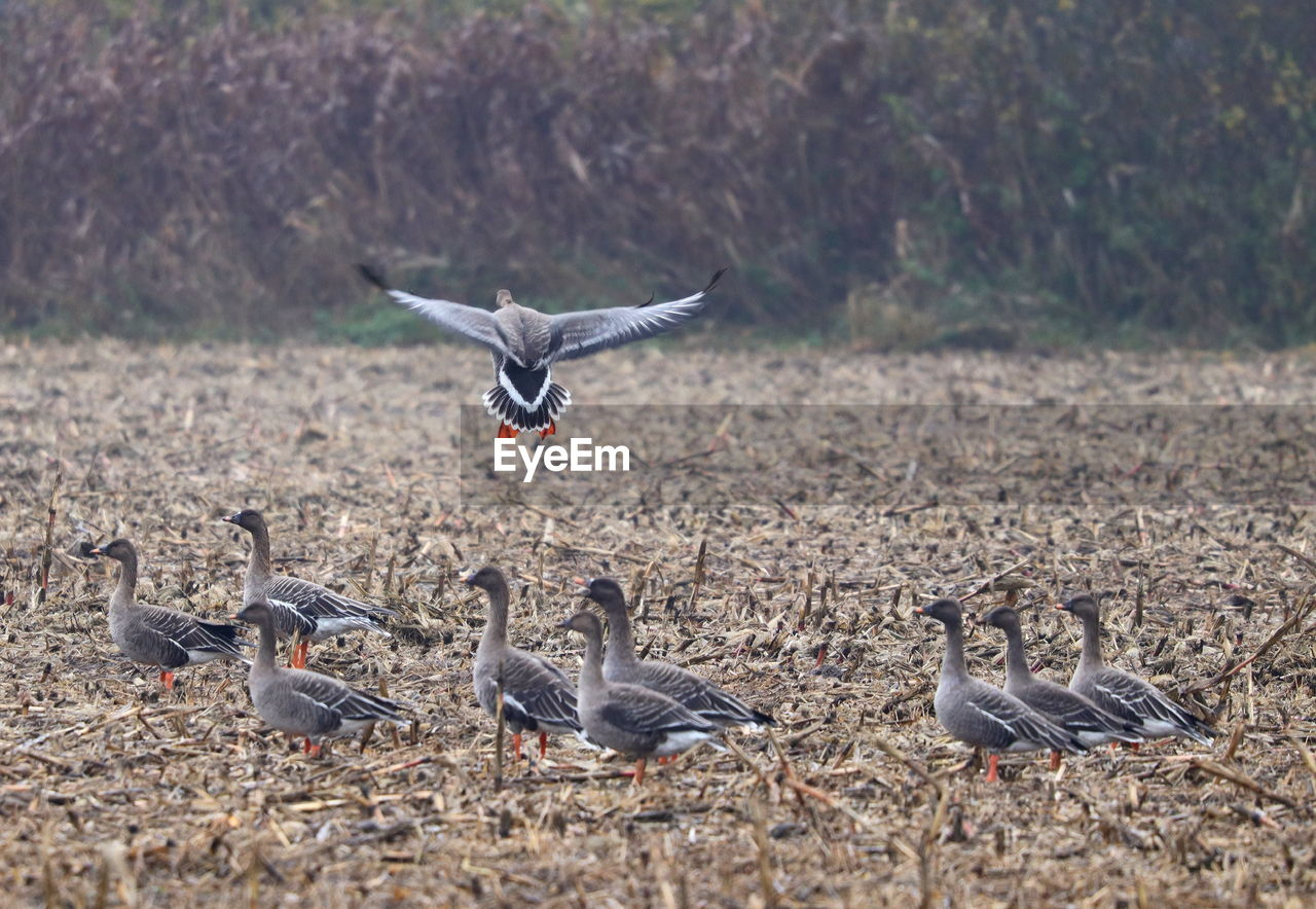 group of animals, animal wildlife, animals in the wild, vertebrate, bird, animal, animal themes, no people, flying, goose, nature, land, large group of animals, field, day, focus on foreground, spread wings, greylag goose, outdoors, flock of birds, gosling