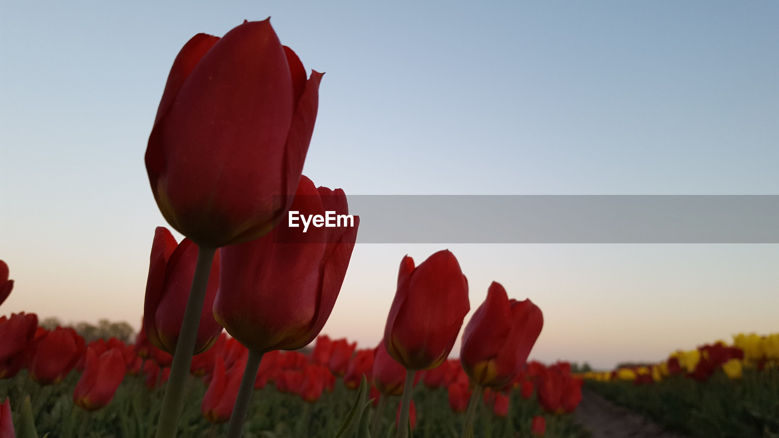 CLOSE-UP OF RED TULIP FLOWER AGAINST CLEAR SKY