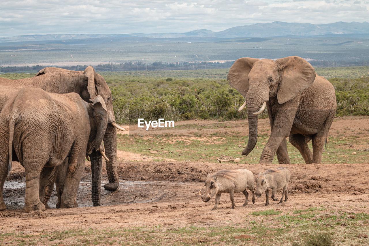 ELEPHANT IN THE FIELD