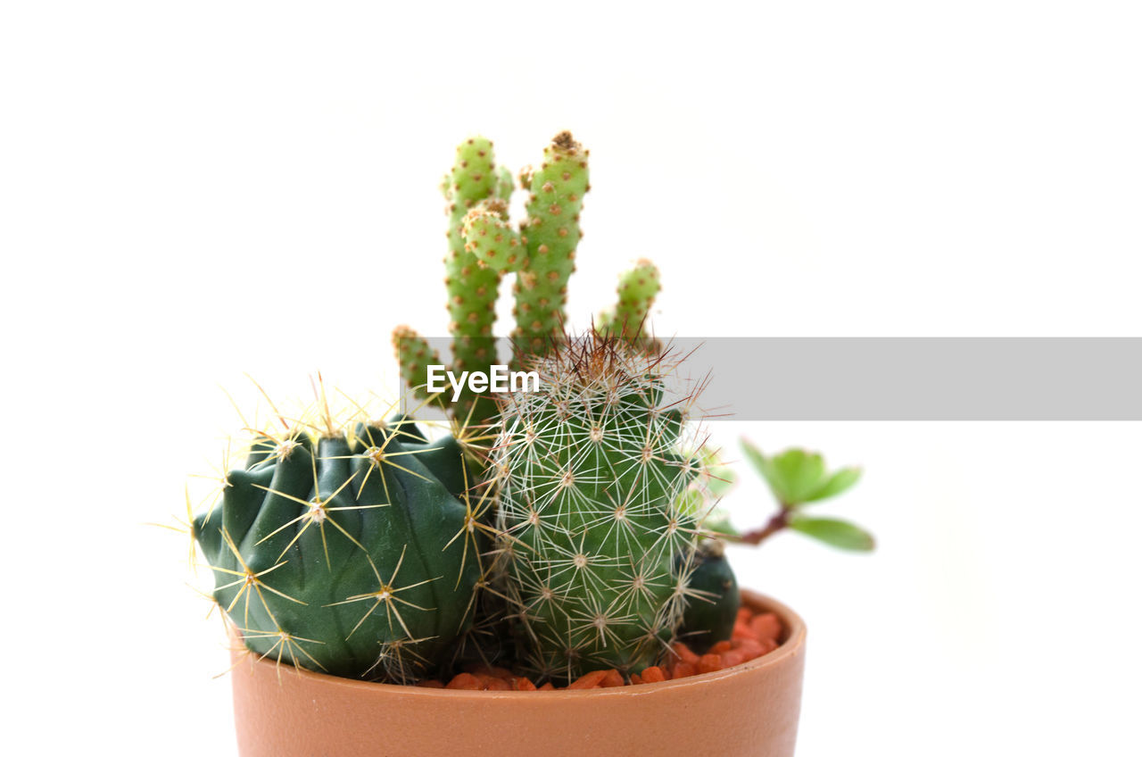 succulent plant, cactus, potted plant, thorn, growth, plant, studio shot, green color, spiked, white background, indoors, nature, close-up, no people, copy space, sharp, flower pot, houseplant, beauty in nature, botany, small