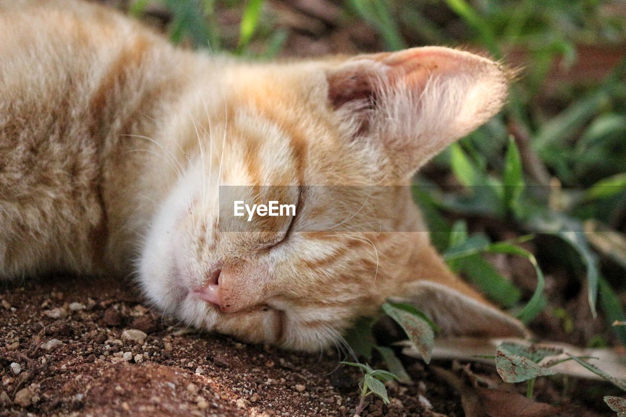mammal, animal themes, one animal, animal, pets, domestic, cat, domestic animals, feline, domestic cat, eyes closed, relaxation, vertebrate, close-up, sleeping, no people, animal body part, lying down, whisker, land, animal head, ginger cat, napping
