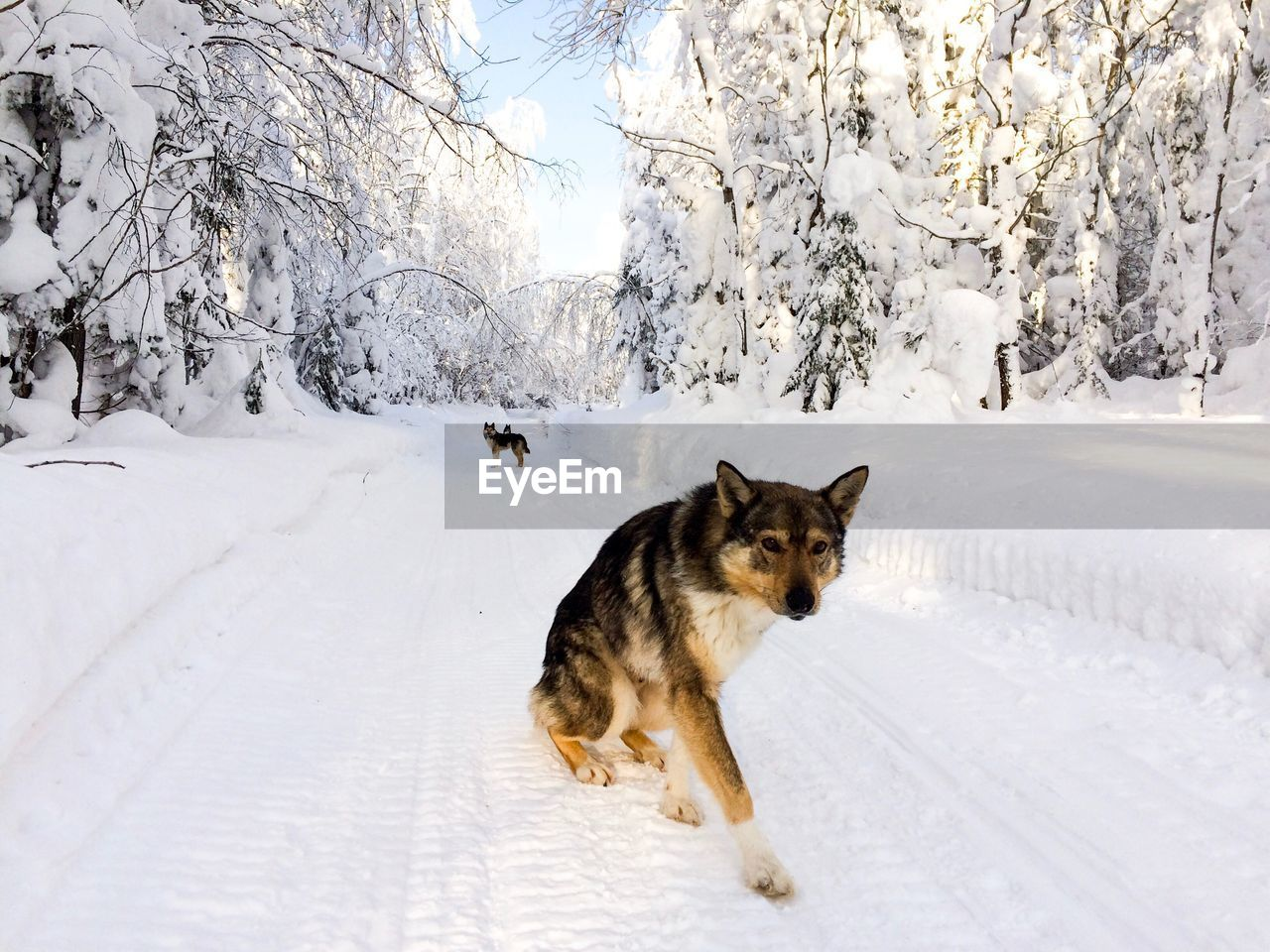winter, snow, cold temperature, mammal, pets, domestic, one animal, animal, domestic animals, animal themes, vertebrate, canine, dog, day, white color, land, plant, nature, field, no people, outdoors