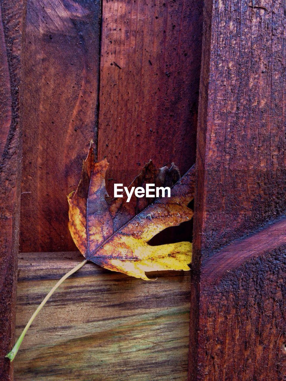 Dry maple leaf stuck in wooden door