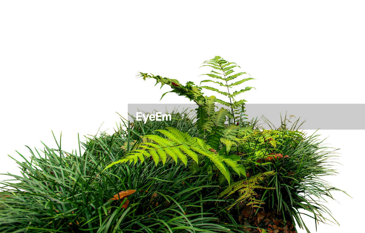 green color, growth, plant, clear sky, leaf, nature, no people, plant part, sky, beauty in nature, white background, studio shot, close-up, day, outdoors, tree, copy space, tranquility, low angle view, freshness